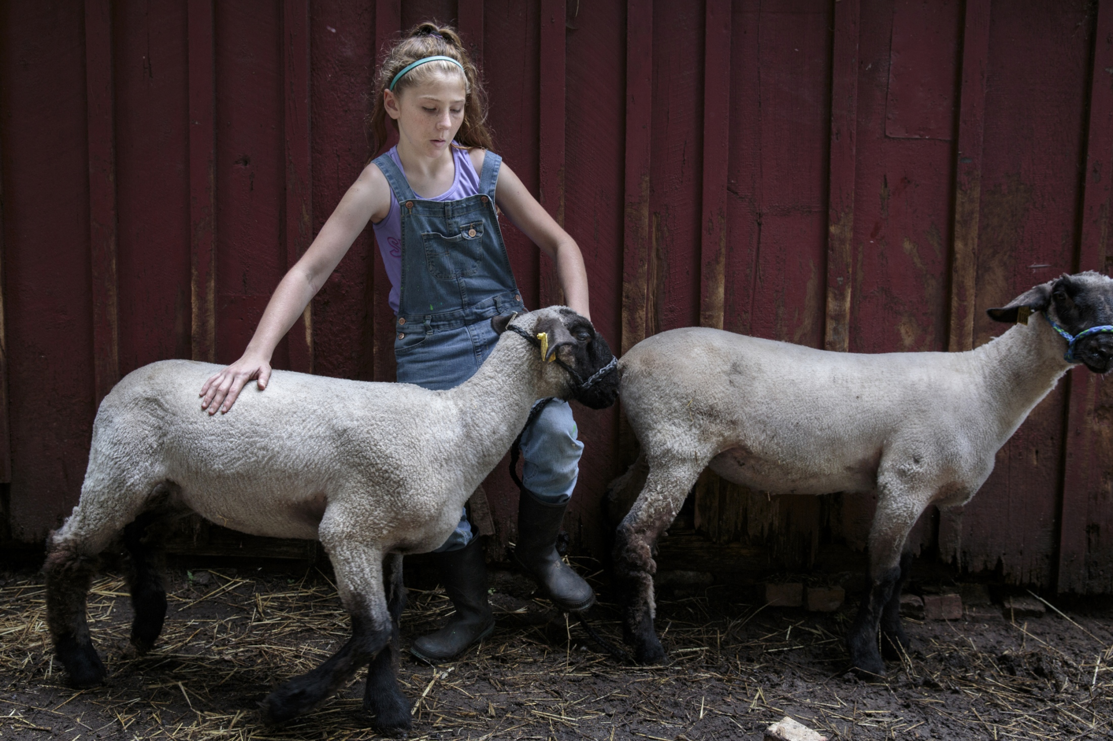 Mackenzie practices putting on a halter on her sheep Gunter and Rosita at her father's house. Mackenzie and her older brother Harkin Bartlett, 12, live with their mother and grandparents about 45 minutes south of their father Chad's home in Twin Lake. Since April, the siblings have visited their father's house every other weekend and worked together to raise market animals to show and sell at the county fair.