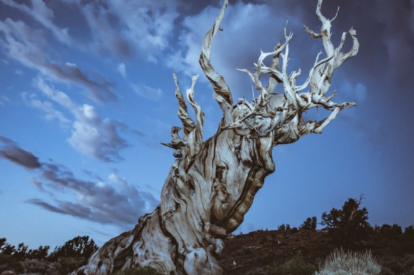 Ancient Bristlecone Pine Forest in Bishop California.