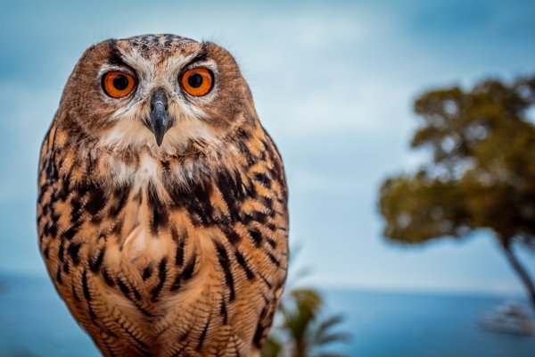 Owl in Catalina.