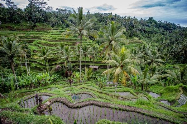 Rice Field, Bali.