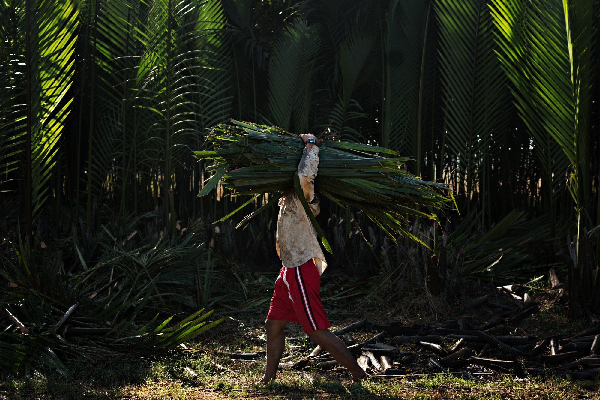 A farmer caries a bundle of palm fronds, to be used as roofing, back to his hut in Pathein.