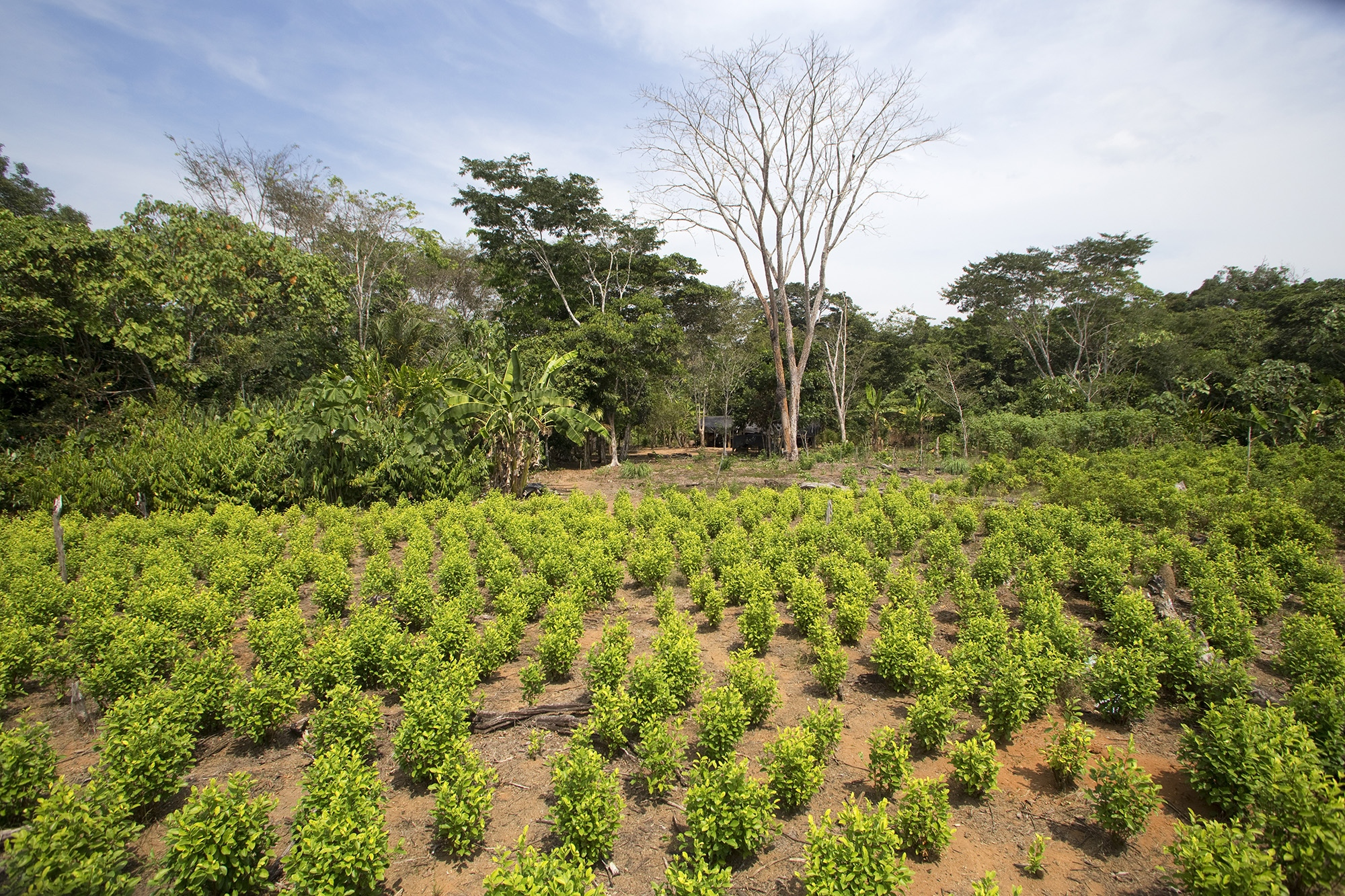 "Overview of a field planted with coca leaf variety ""dulceamarga"" (bitter sweet) in the region of La Paz, in the Guaviare."