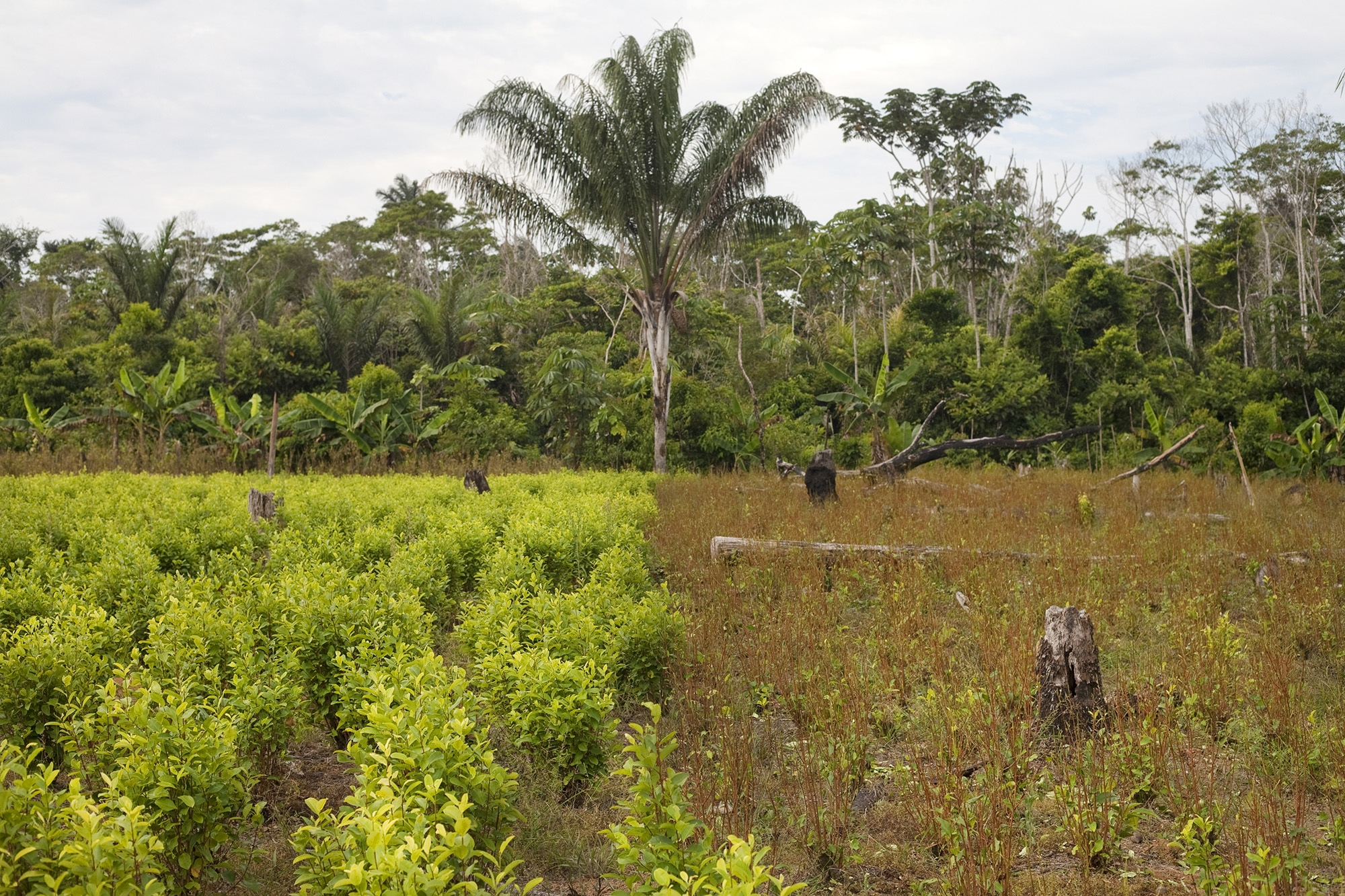 Coca crops in the Nukak National Nature Reserve in the Department of Guaviare, Colombia.
