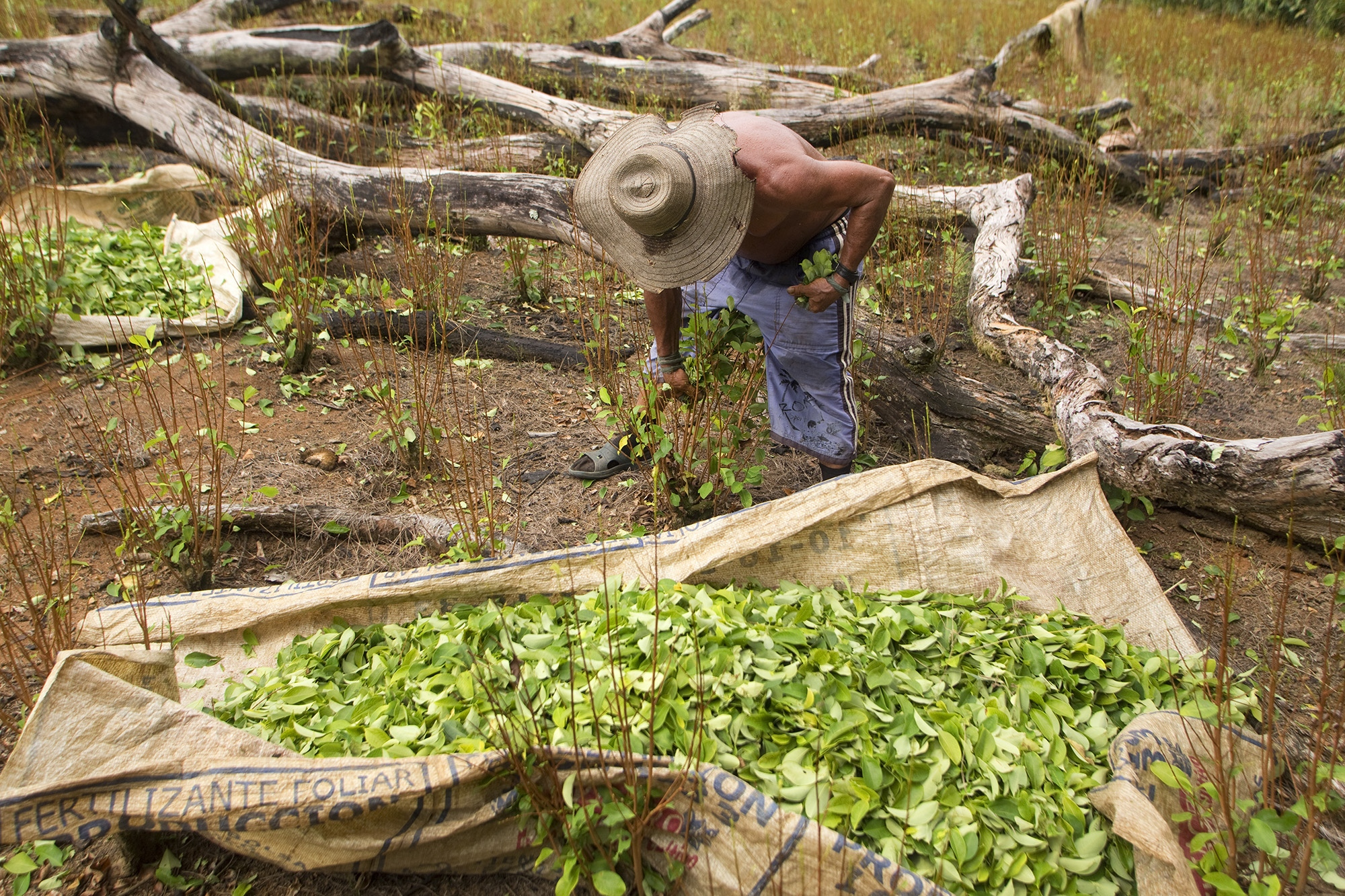 "Otto Felix Forero collects coca leaves on a farm located within the Nukak National Nature Reserve, in Guaviare. Otto has been doing this work for more than 20 years and has thus brought his family forward. Five years ago he worked in Bogotá as a construction worker, but he did not earn the same as being ""raspachín"" or collector."
