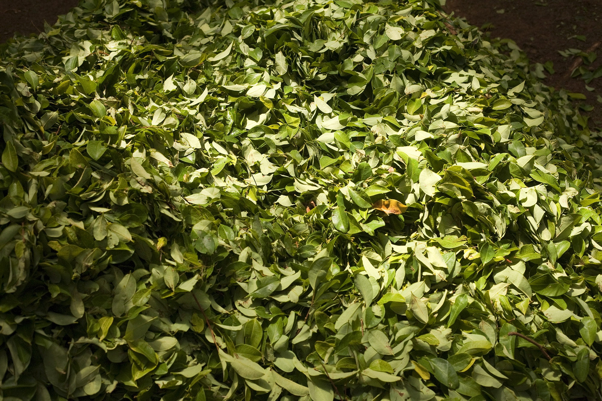 "A pile of coca leaves of the variety ""Dulceamarga"" (bitter-sweet) after being collected in one of the farms within the Nukak National Nature Reserve in Guaviare."