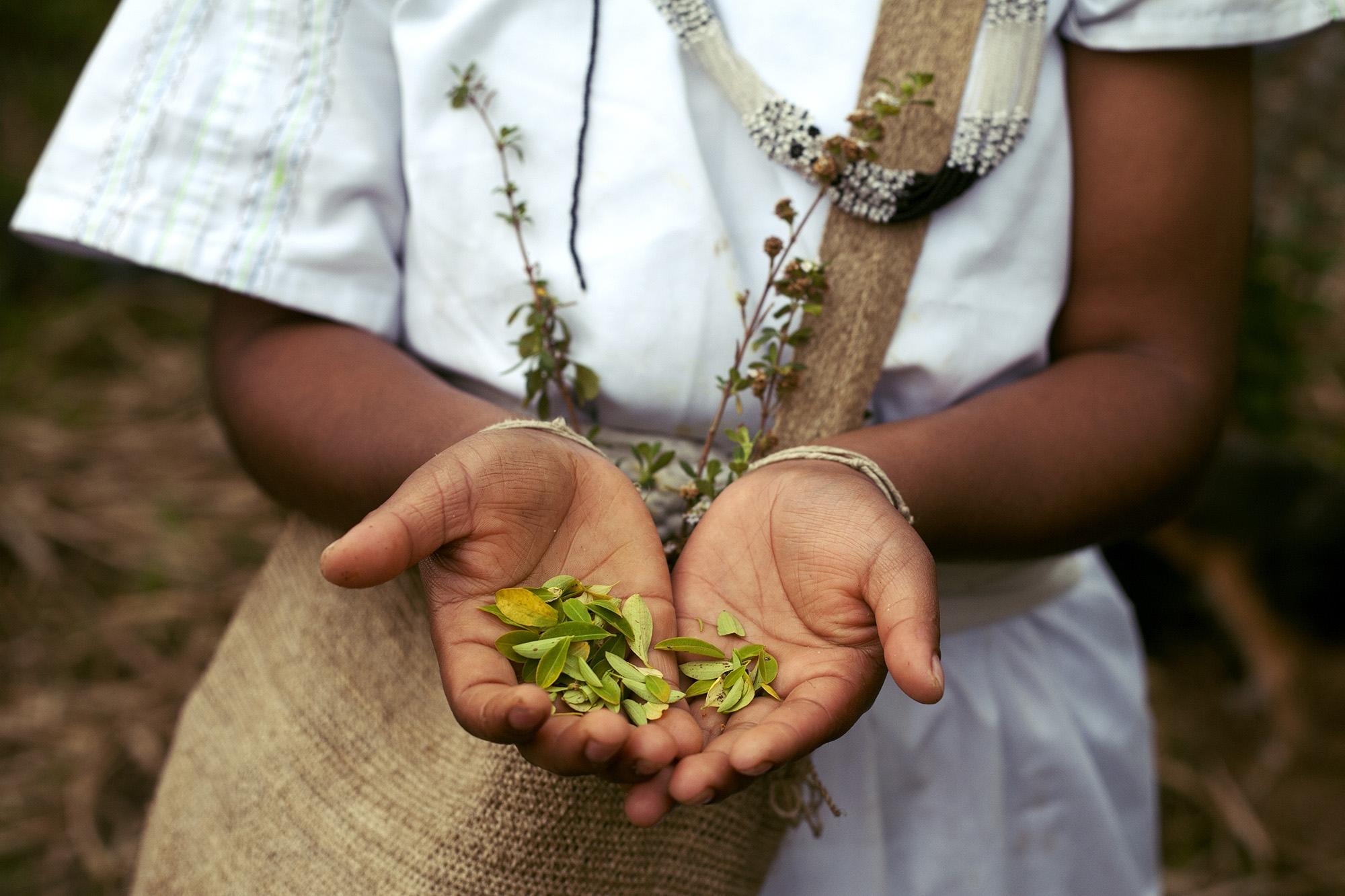 Daniela Villafaña of the Arhuaca ethnic group, shows in her hands coca leaves for the daily ceremonies her people have. The coca leaf is fundamental for the cultural development of the peoples of the Sierra Nevada of Colombia, as well as for other peoples throughout Colombia and South America. It is not considered a drug but a sacred plant and in that sense the natives profess a deep respect. Nabusimake, Cesar, Colombia.