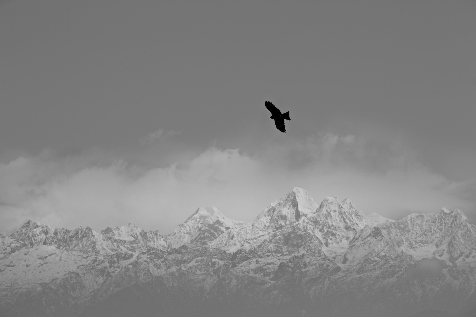 A hawk flies above the Himalayas in search of food.