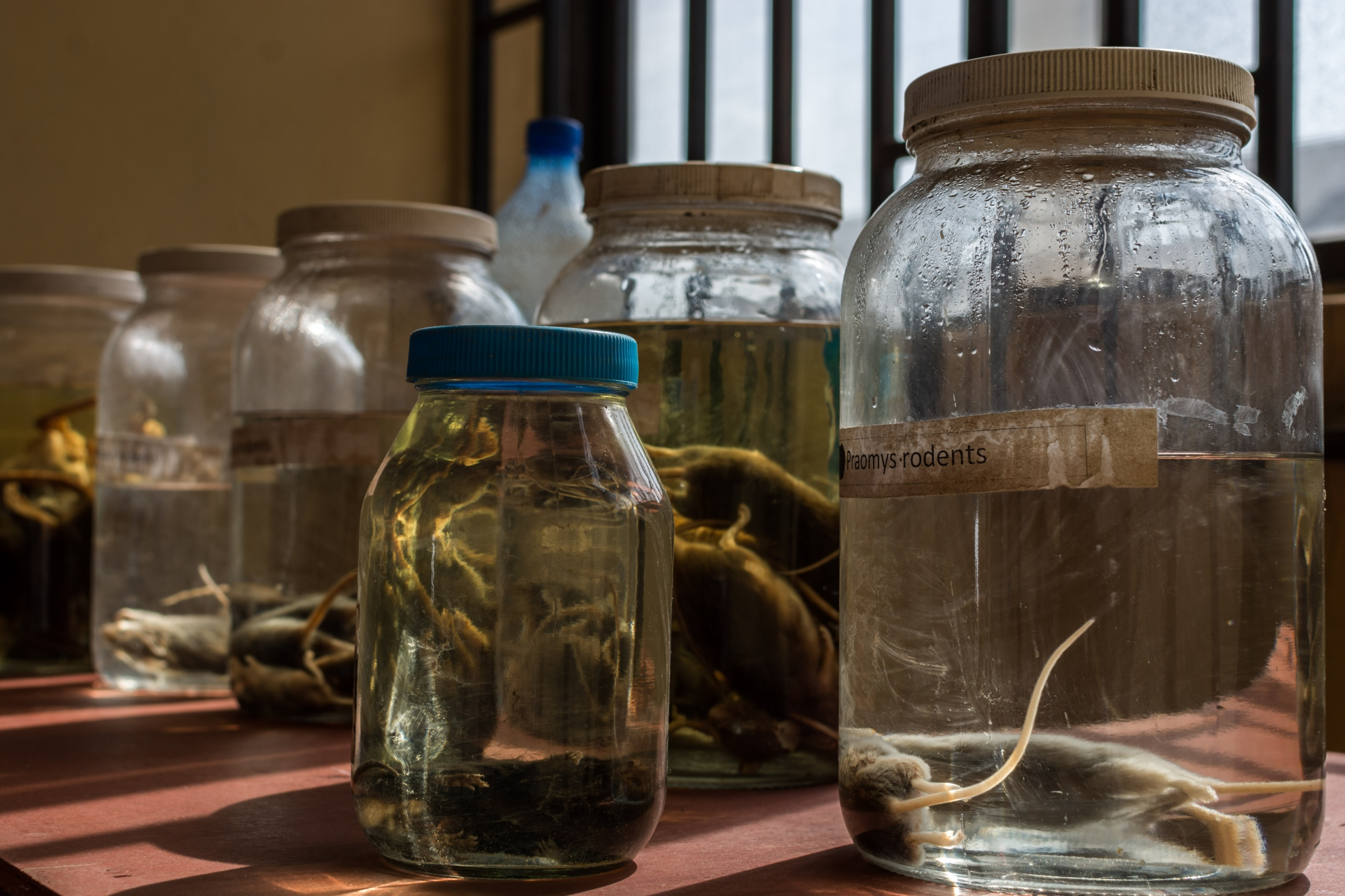 Various species of carriers of the Lassa Virus are put on display at the Lassa Ward in the Irrua Specialist Teaching Hospital, Edo state. The species which are preserved with formalin are put on display so that members of the public can identify the Lassa carriers.
