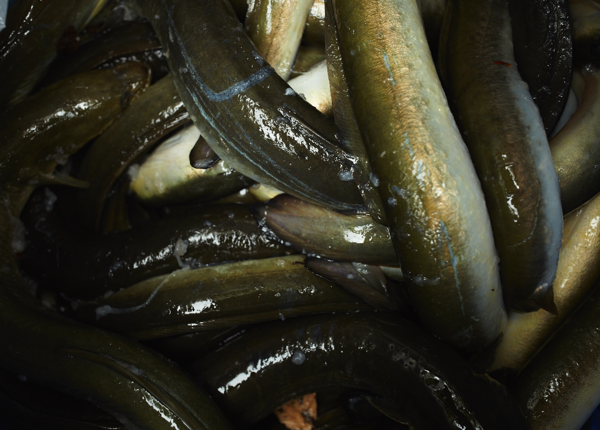 Here a natural mucus, due to fear, coats the eels as they are transported to the freezer. The freezing period plays an important role in the smoking process, by naturally separating the mucus from the eels prior to smoking.