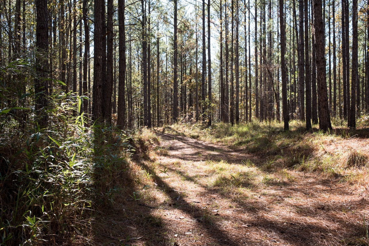 """Homochitto National Forest, MS. 12/4/2015. On May 2nd, 1964, Charles Eddie Moore and Henry Dee, both 19 and from Franklin County, Mississippi, were picked up by several KKK members while hitchhiking in Meadville, MS. According to testimony given by Charles Edwards, who participated in the abduction and beatings, it was he that identified Dee as a target because he """"fit the profile of a Black Panther"""" as Dee was known to """"wear a black bandana on his head all the time"""" (neither Moore or Dee had any involvement in civil rights activism). Moore and Dee where taken to an area near here, deep inside Homochitto National Forest in MS. The two where interrogated, beaten with """"whip-like bean poles"""" and tree limbs until, gashed and bloodied. Some Klansmen left the scene, while the remaining Klansmen locked Moore and Dee into the trunk of the car and drove across to the Louisiana side of the Mississippi river. The Klansmen tied Henry Dee to a jeep engine block, took him by boat into the river, and, while Moore watched from shore, tossed him overboard to drown. They then tied Charles Moore to a railroad tie and iron weights. They took him by boat into the river and threw him overboard as well. Both men were still alive when they were thrown into the Mississippi River."""