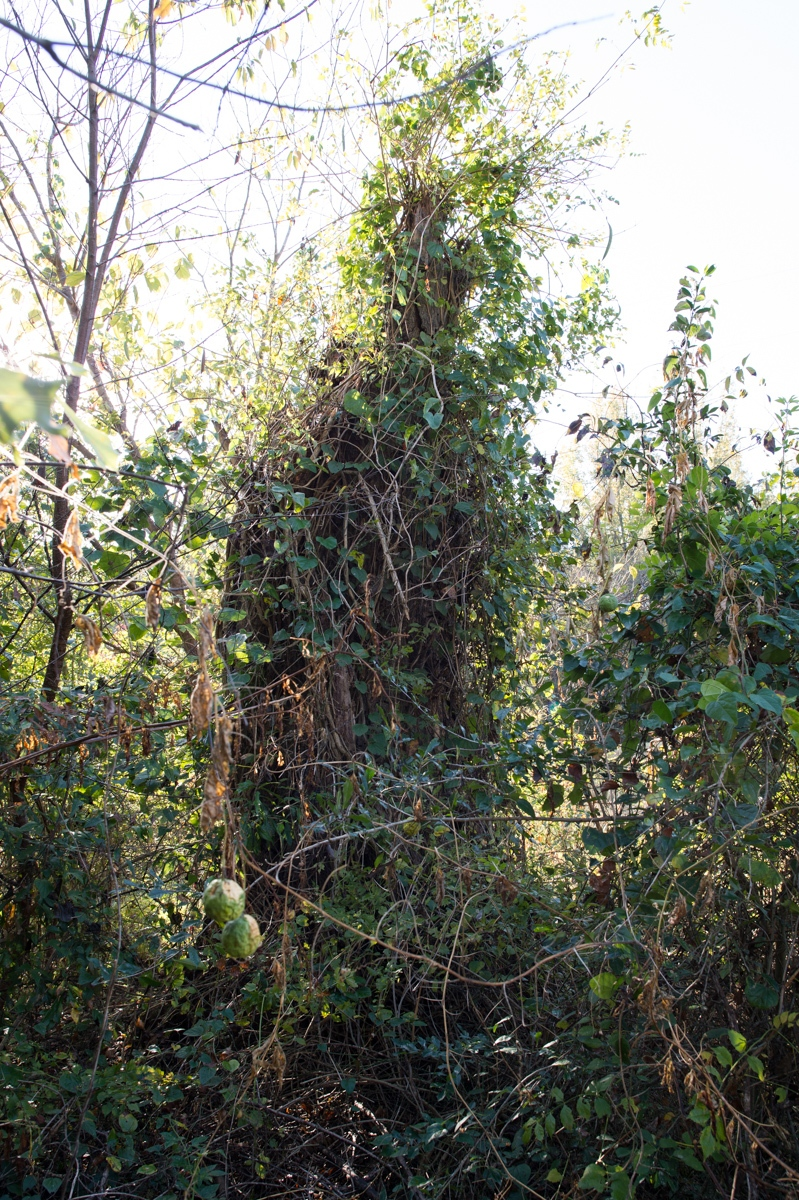 """Marshall County, MS. 12/2/2015. All that remains of 'The Hanging Tree,"""" where a local chapter of the Ku Klux Klan lynched a black man in the 60's for assaulting a white woman. According to the great-grandson of the former property owner, a black man was tied to the railing of a wooden bridge in the 1960's and whipped by several members of the local Klan. He was accused of repeatedly stealing watermelons from the property adjacent to their family's cotton farm. Not long after, that same black male was accused of assaulting a local white woman.   The offender was taken to a large oak tree, dubbed """"The Hanging Tree,"""" a few minutes walk down the road where he was subsequently lynched for his offenses. The lynching was unreported.   In the late 1990's the great-grandson attempted to till the soil around the """"Hanging Tree"""" in an effort to plant a flowerbed. The Till broke and he temporarily abandoned the project. A few months later during December of the year 1997 the tree was struck twice by lighting during a winter lighting storm. The large oak burned for two days and his neighbor (a late former slave who lived to be over 100-years old and who was familiar with the lynching) somewhat panic stricken warned the grandson that he woke up some """"bad medicine.""""   Several strange occurrences followed over time... the property was eventually sold. The great-grandson was visibly uneasy when he took me to the locations and his skin began to erupt with goose bumps.   The bridge was abandoned in 1977 after a new highway was constructed."""