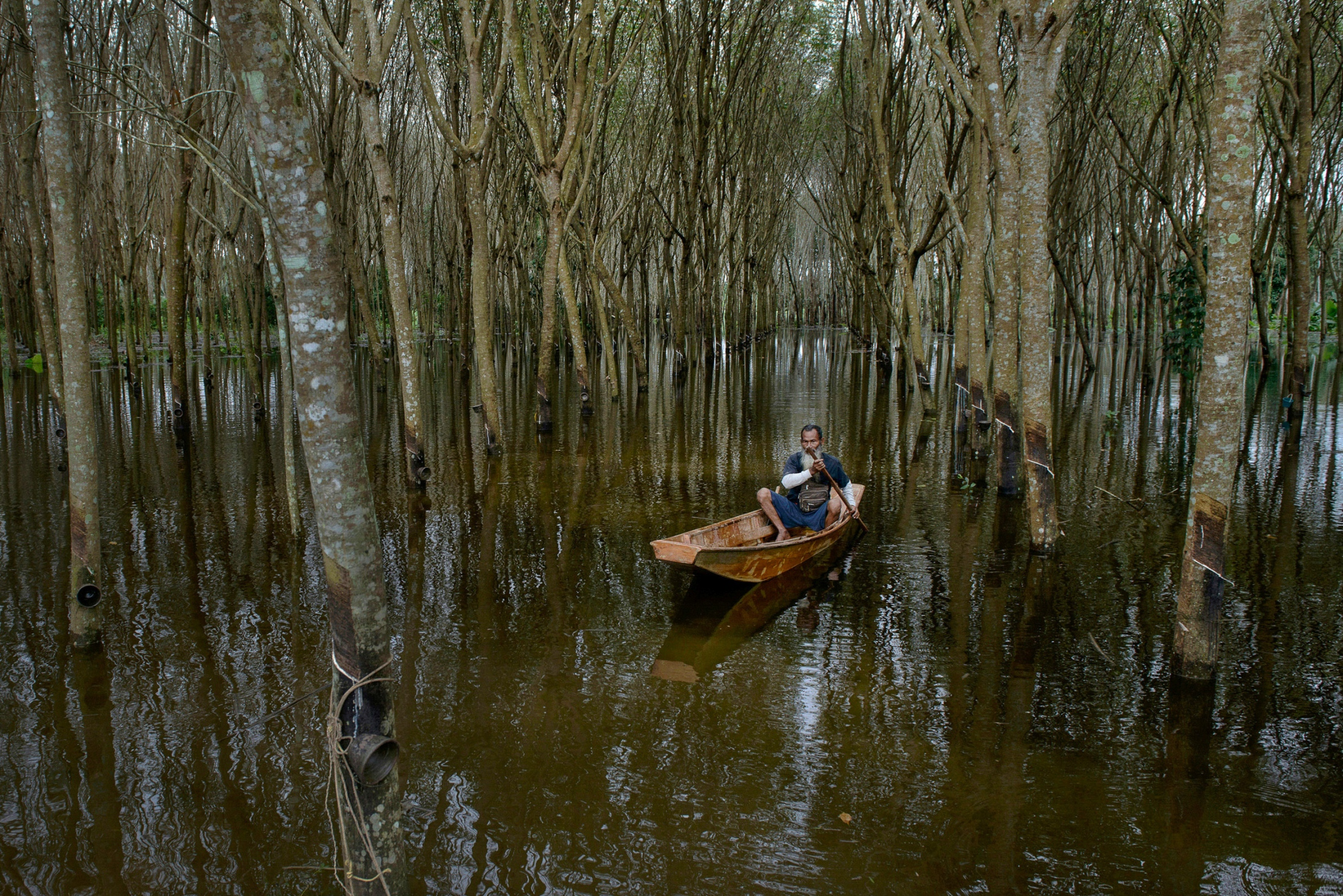 Unseasonably heavy rainfall in Southern Thailand causing widespread flooding, a farmer paddles his way through rubber tree plantations, the economic plant which is the main income to farmers in Southern Thailand.