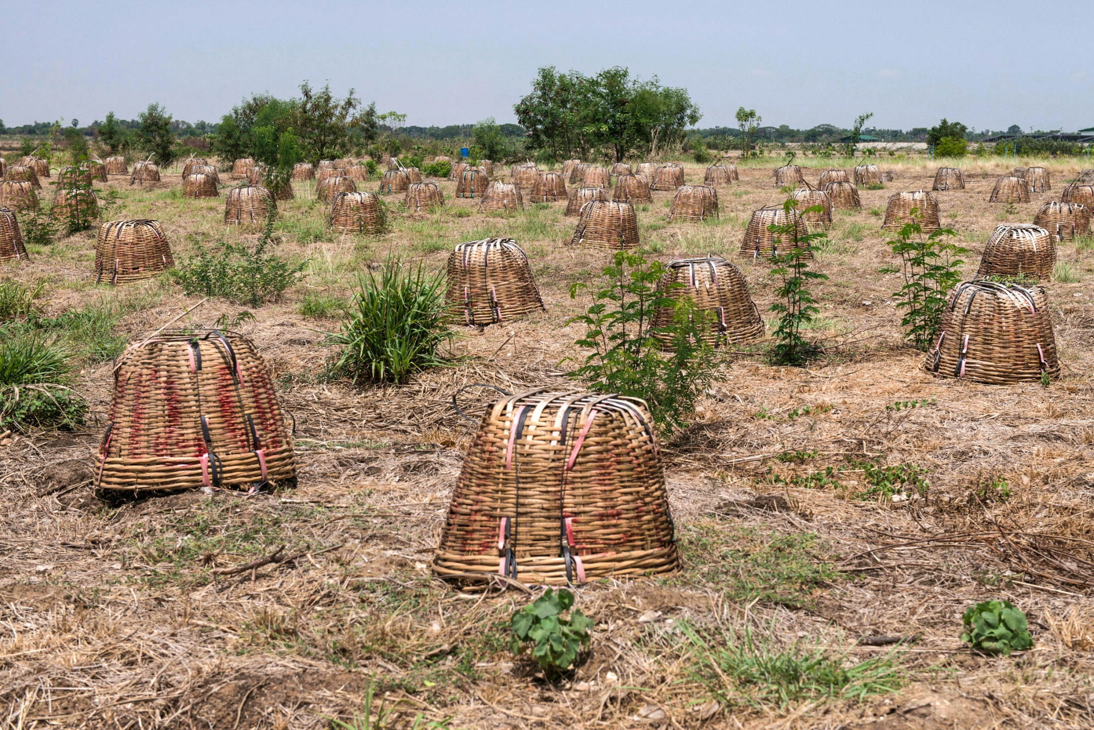Ang Thong, Thailand. farmers use baskets to cover the Melientha suavis from strong direct sunlight during a period of heavy drought. Normally, the price of this vegetable is relatively high and brings a lucrative income to farmers. May 14, 2016.