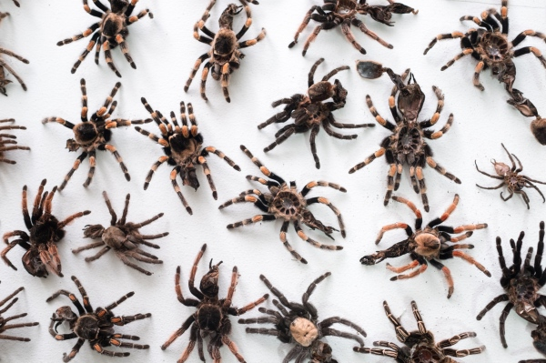 THE ILLEGAL MARKET OF TARANTULAS IS A HAIRY BUSINESS