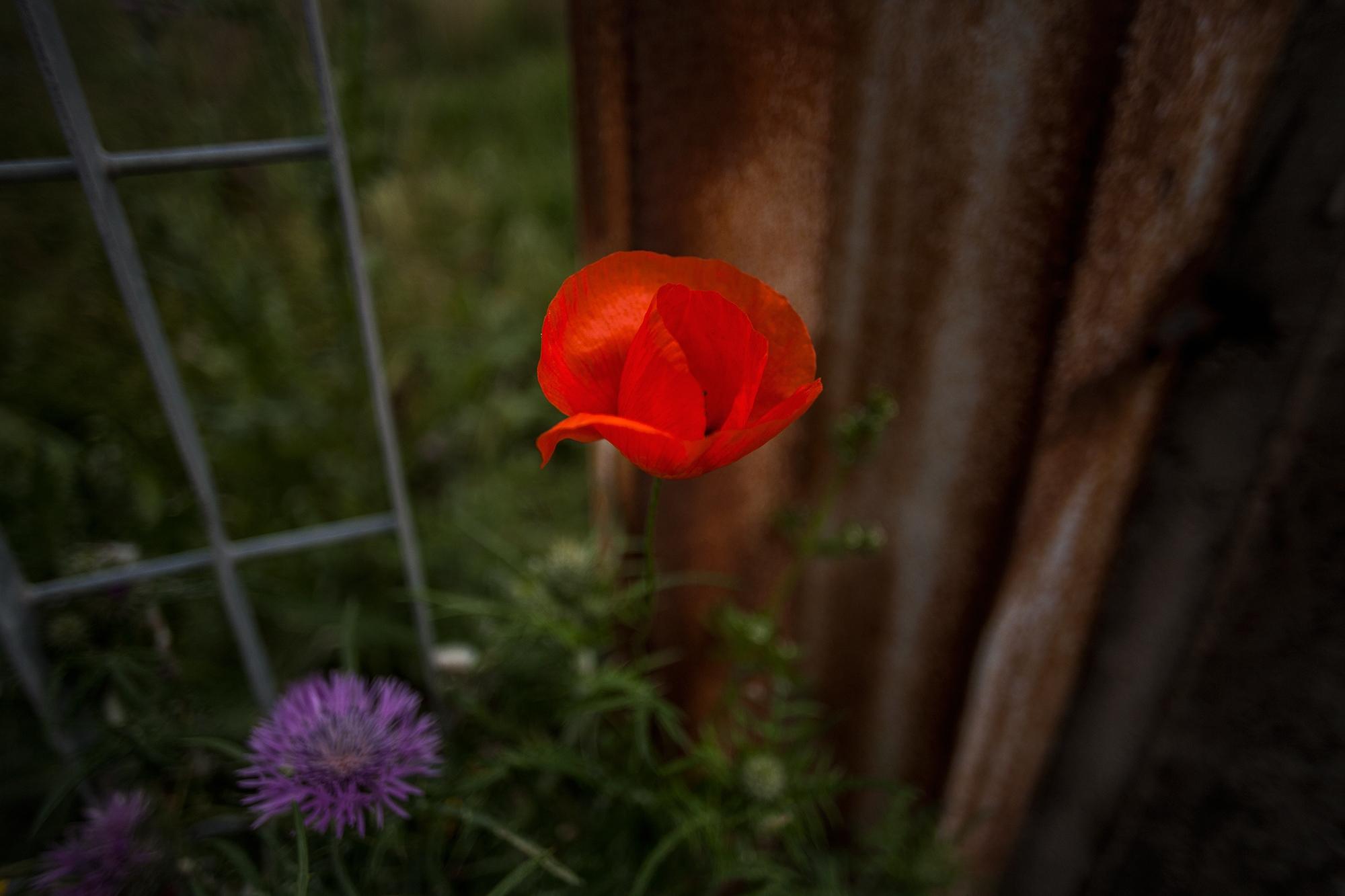 A wild poppy