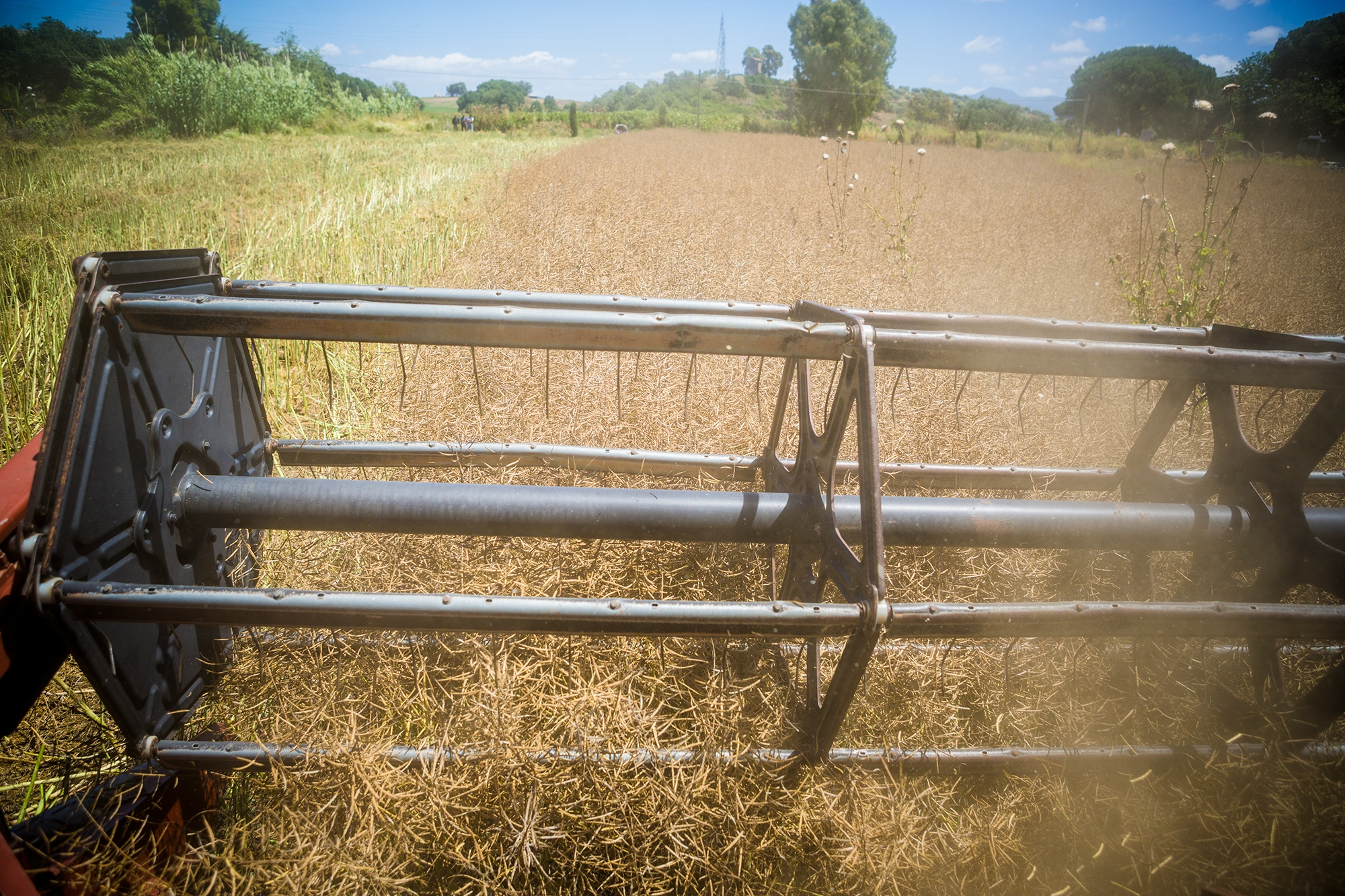 Wheat being harvested at a local farm