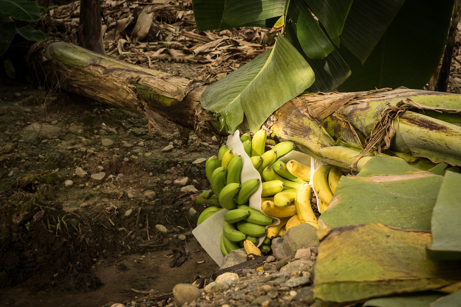 A fallen banana tree in a Chiquita International farm in La Lima, Honduras. The strike that Gómez helped organize lasted over two months and lead to $10 million in production losses. Workers believe it will take at least a year for the fields to return to their natural state. In 2016, 89% of Honduran banana exports ended up in the U.S..