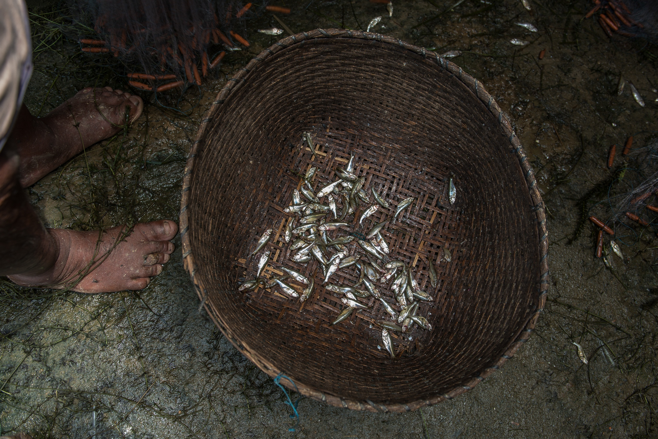Mukha nga (non-native fish) that were fished from Loktak lake sit in a basket at the Laishram family home in Thanga, Manipur. After the construction of Itahi Dam when the native fish populations in the Loktak Lake began dwindling, the state fisheries department introduced numerous non-native fish species to the lake.
