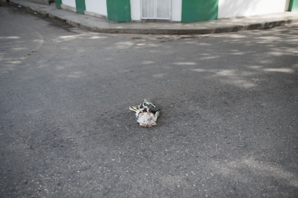 Dead chicken on a street in Habana