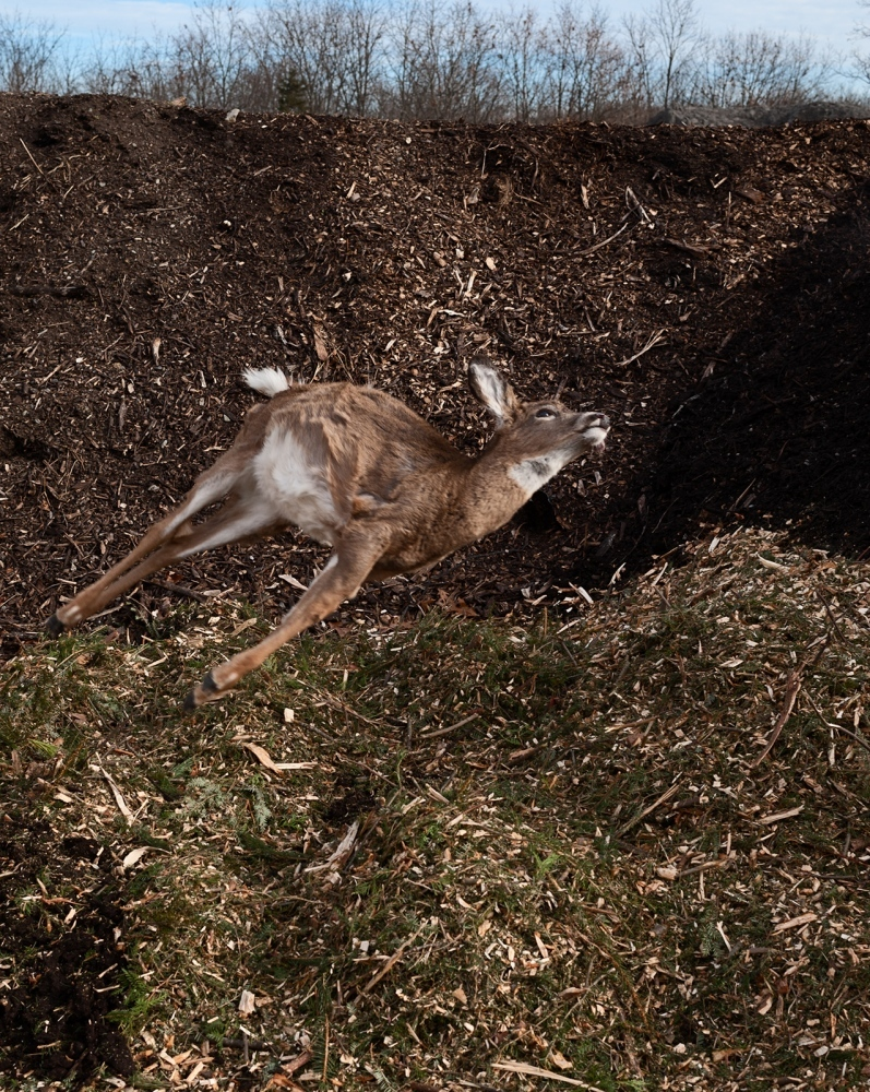 A small fawn is tossed onto a pile of composted Christmas trees.