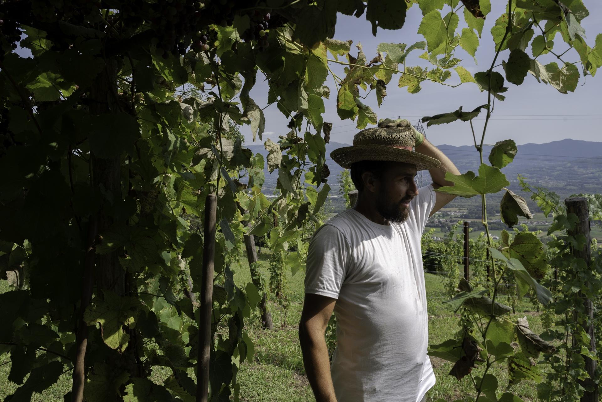 Filippo De Martin, viticoltore biologico sperimenta varietà resistenti che non necessitano di trattamenti specifici. Conduce le proprie vigne senza mezzi meccanici secondo i precetti tipici del viticoltore antico.Roncoi, San Gregorio nelle Alpi (BL).
