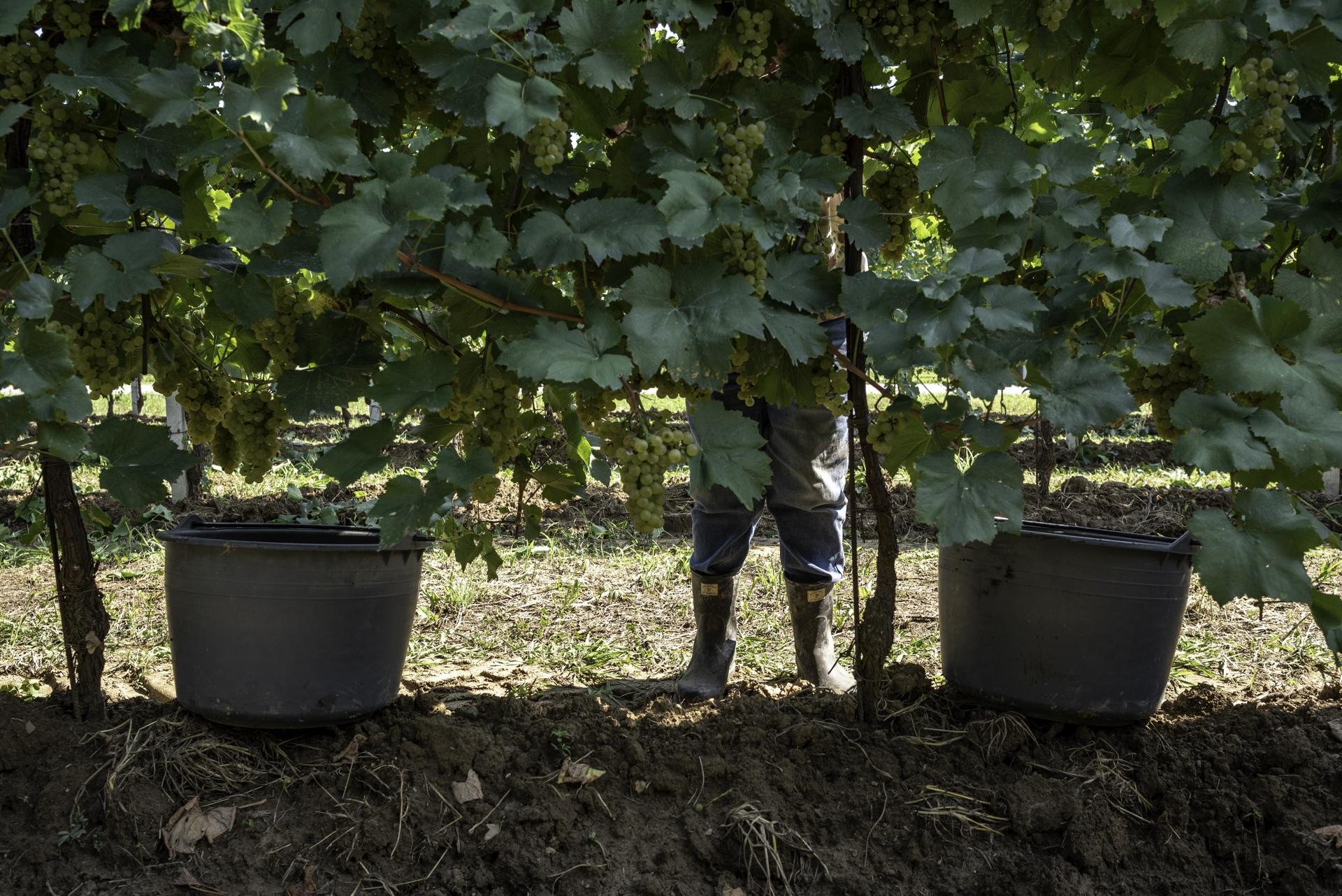 Piccoli viticoltori vendemmiano manualmente. Diversamente dagli agricoltori limitrofi le loro vigne sono piantate a Cabernet che sembra essere più adatto al terreno, alle temperature ed umidità della zona. Conferiscono e vendono in cantina sociale l'uva vendemmiata. Tarzo (TV).