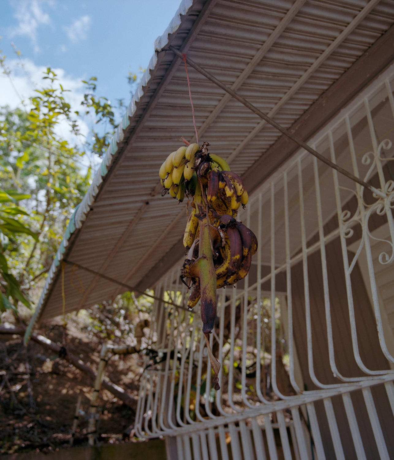 A branch with ripe plantains hangs outside a home in the barrio La Yuca. After the storm, the island's plantain supply all but vanished, and even after six months when this photo was taken, the island was still experiencing a shortage of the fruit that forms a central ingredient in many island dishes. When traveling with relatives around the neighborhood we encountered vendors charging around five dollars for four plantains, which under normal circumstances would be an absurd price. Ponce, Puerto Rico, February 2018.