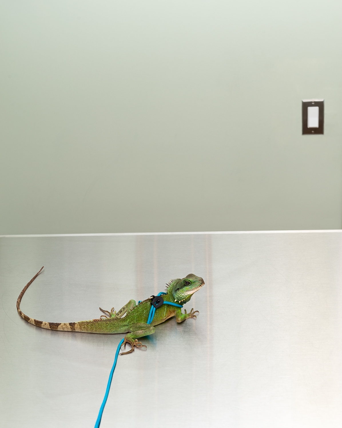 A Chinese Water Dragon on a leash waits for his exam.