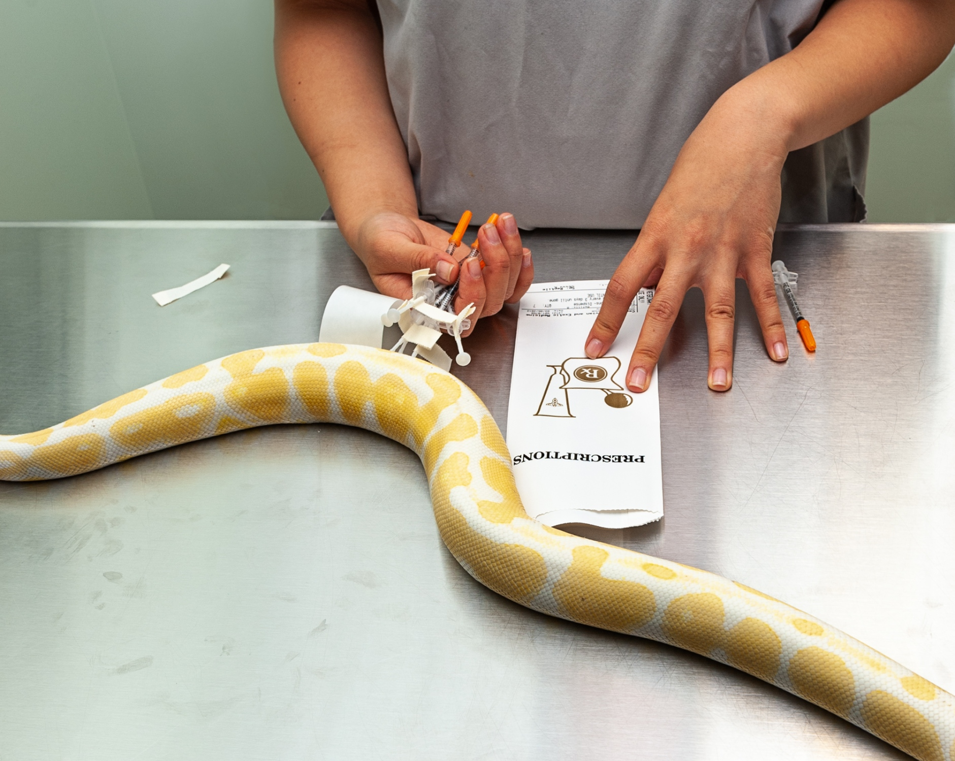 A technician demonstrates the administering of antibiotics, for home treatment for a Banana Ball Python.