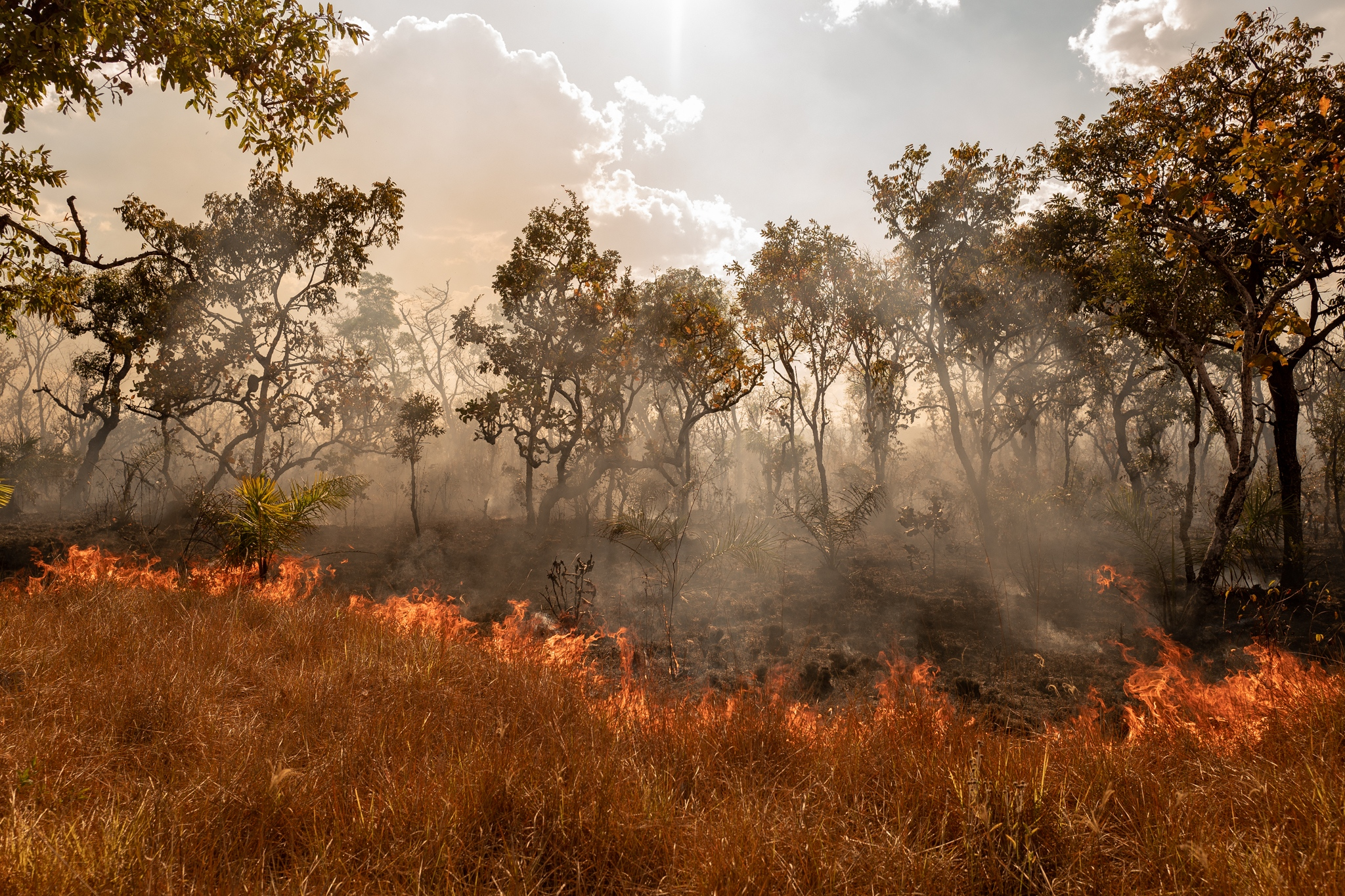 In the Cerrado biome (the second largest in South America) forest fires are common because of extreme heat and also triggered by criminals who wish to use space for planting soybeans and raising animals.