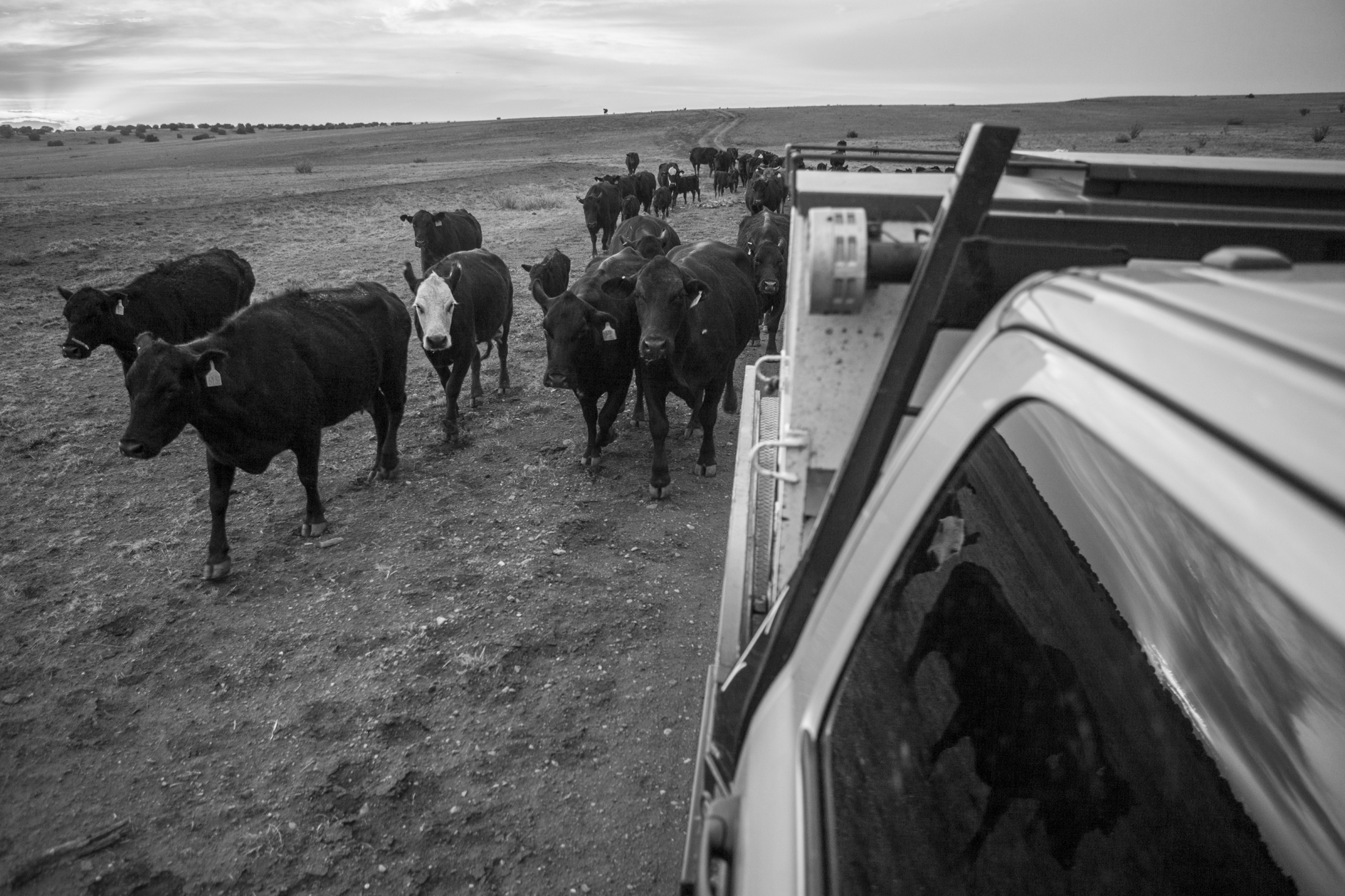 The cattle follow the feed truck as it drops pellets along the way as the ranchers use the very last of daylight to round up the remaining heads.