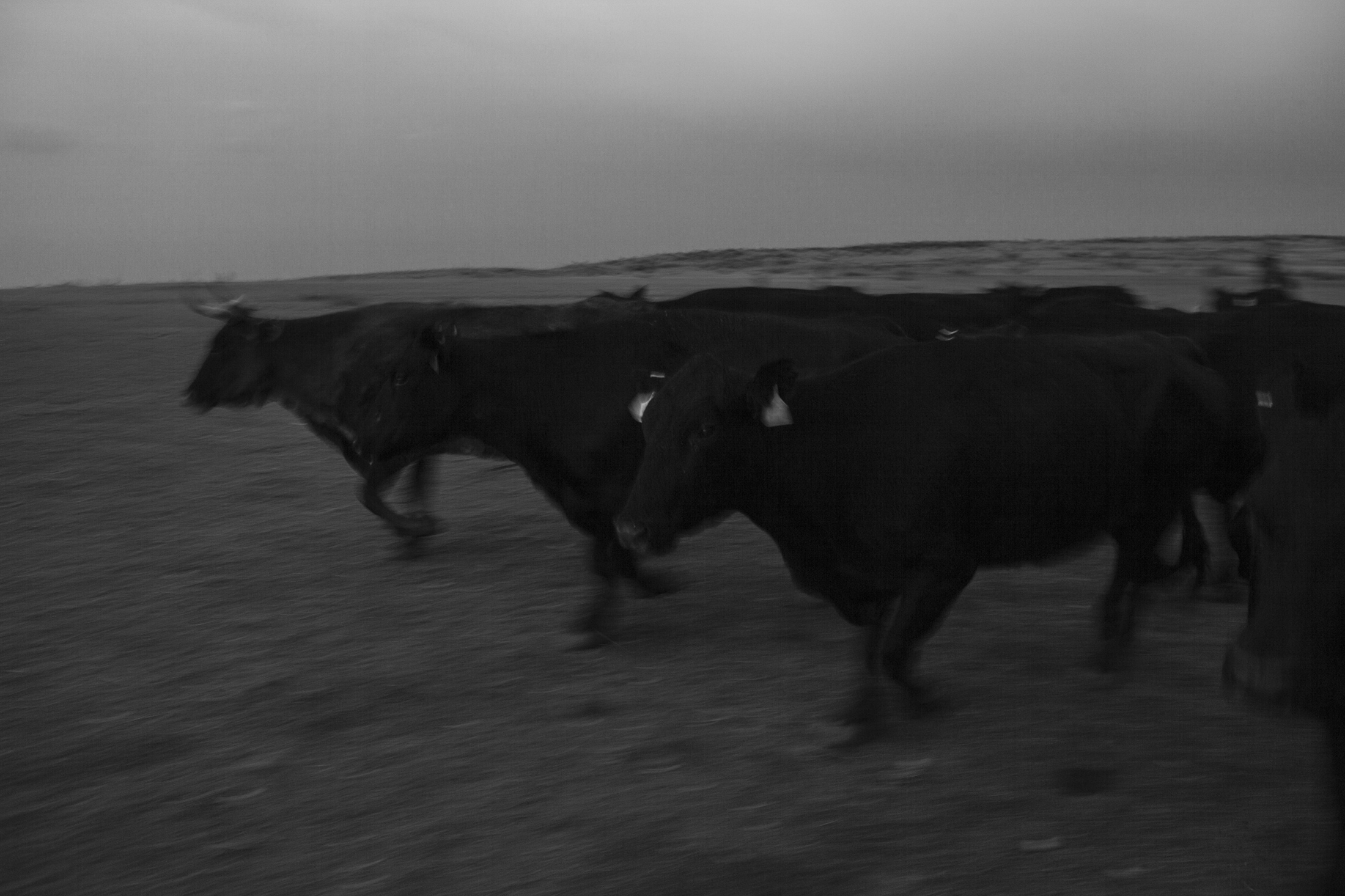 The cattle run as they are rounded up for the morning sell.
