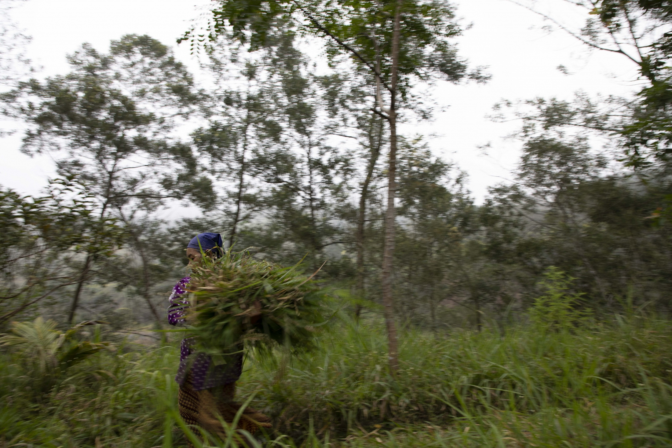 Mbah Sudiwiyono collecting fresh cress to prepare the wood coal fire early in the morning. She does so barefoot to be even closer to nature. The forest of the mountain is her home. Most women use the forests around their villages to make a living by collecting wood, or grass, mostly for livestock.