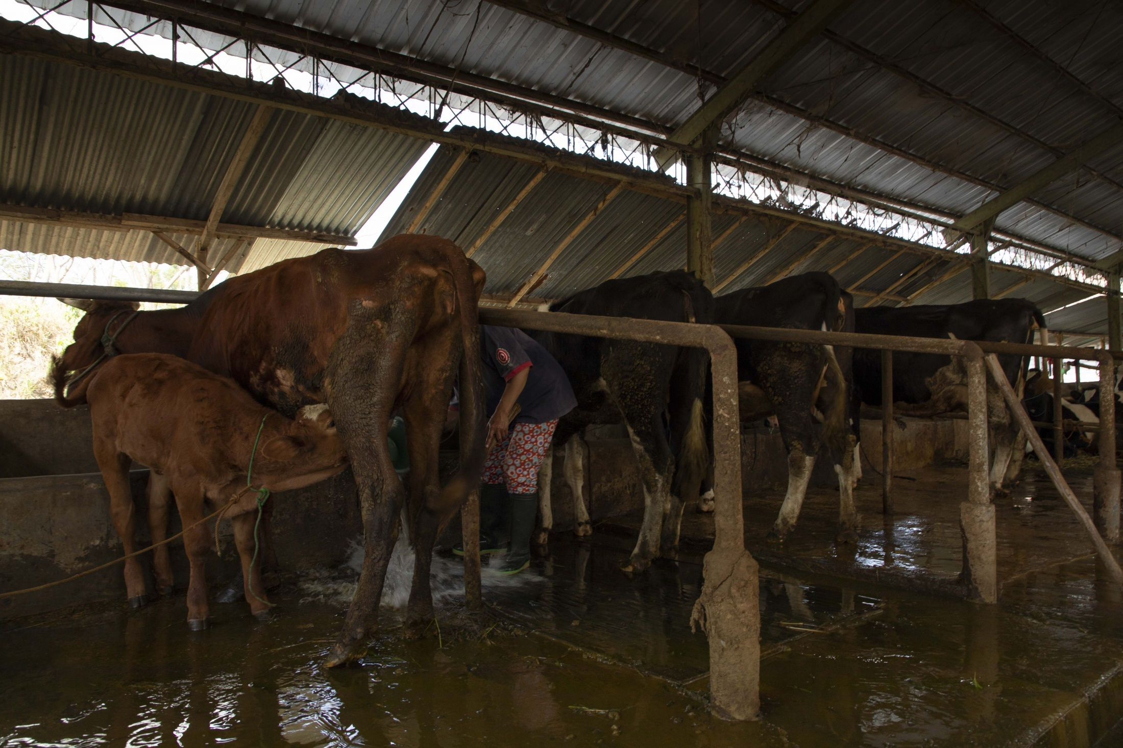 A woman cleaning cows in Karang Kendal. Today, it is the women who take care of the agriculture production in the mountain while men work in the nearby cities. The daily live of women is therefore strictly structures around the times when the cows need to be milked, fed, and washed. Agricultural productivity is a direct result of Merapi. The short-term destruction of its eruptions is 'outweighed' by the long-term benefits of the nutrients that ash falls bring to soils, especially as coupled with abundant rainfall. Cows also represent the savings of families. In hard ties, they sell them to make a living when no other forms of income are available.