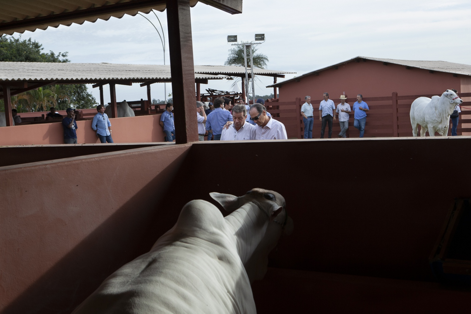 Talk and negotiation between farmers in an auction during Expozebu. Uberaba, Brazil, 2013.