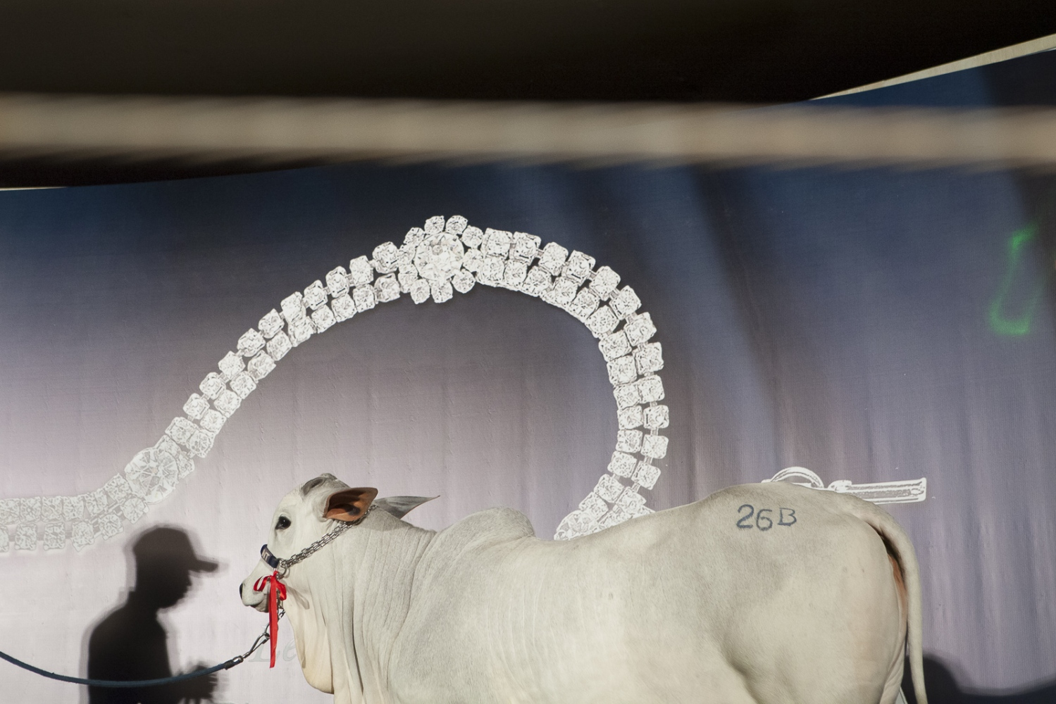 "A calf is presented to sale at the private auction ""Joias da Raça"" (The Jews of the Race) organised by the farm Nova Trindade during the ExpoZebu Cattle Fair. The animal was sold for 1 million dollars. Uberaba, Brazil, 2013"