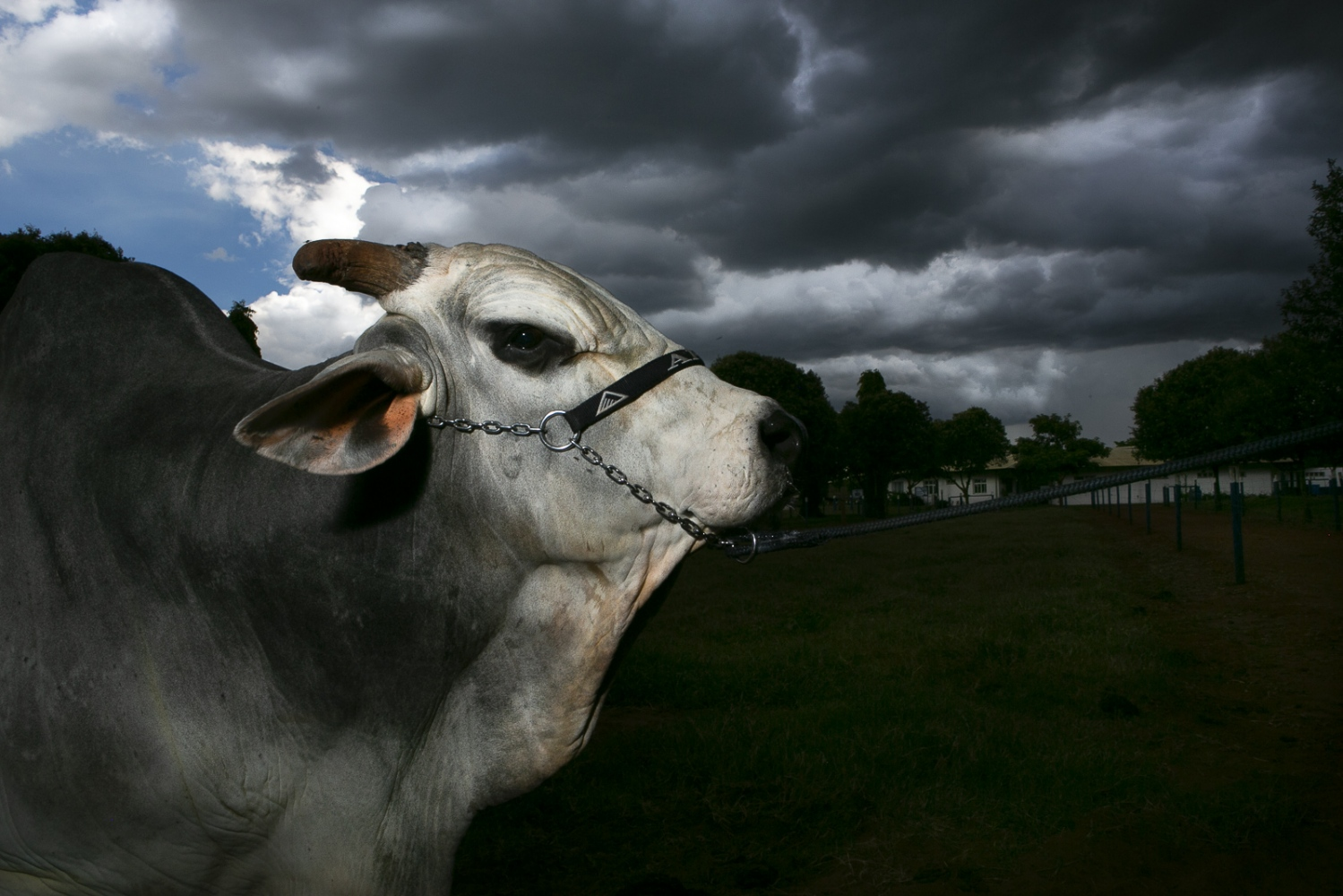 Jabriel, the most prized bull of the Nelore breed, belonging to the Naviraí farm and currently hosted at the Alta Genetics laboratory in Uberaba. The bull was valued at almost US $ 800 thousand in 2016 and is today the most important bull in semen sale of the country. Uberaba, Minas Gerais, Brazil, 2017