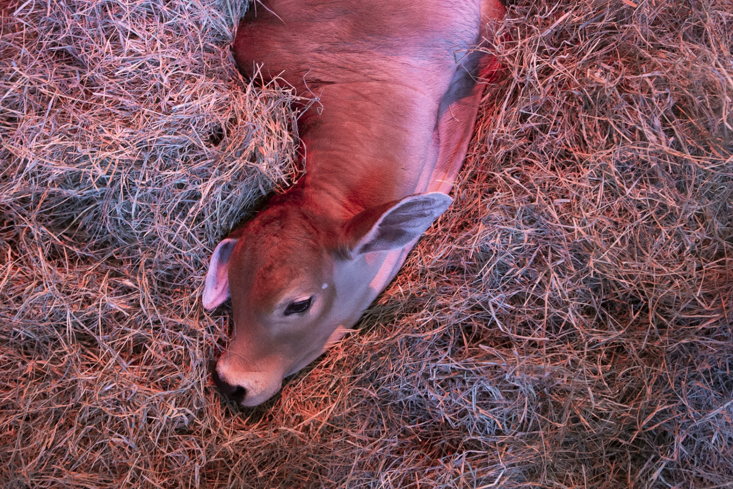 The newborn clone rests and bathes under infrared light on the manger.Uberaba, Minas Gerais, Brazil