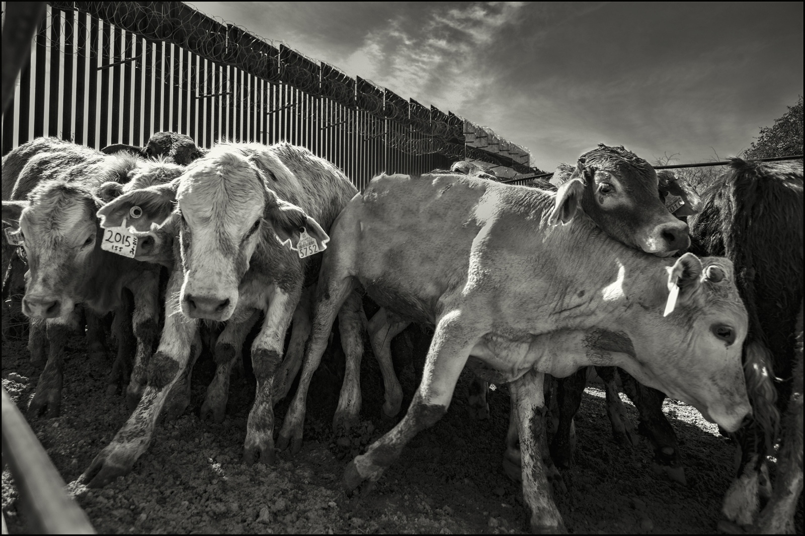 Mexican raised cattle entering into the United States at border gate, Nogales, Arizona. February 2019.