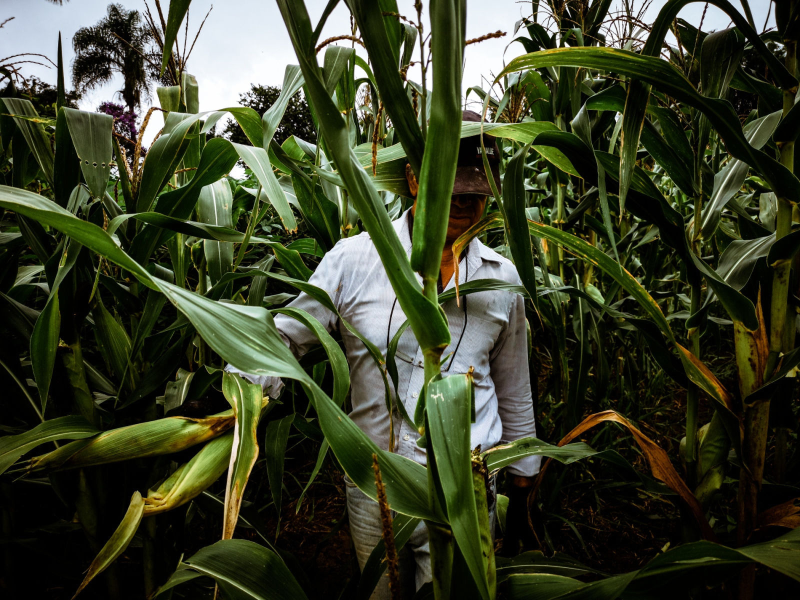 Photography image - small production of corn in the state of São Paulo , Brazil. February, 2019