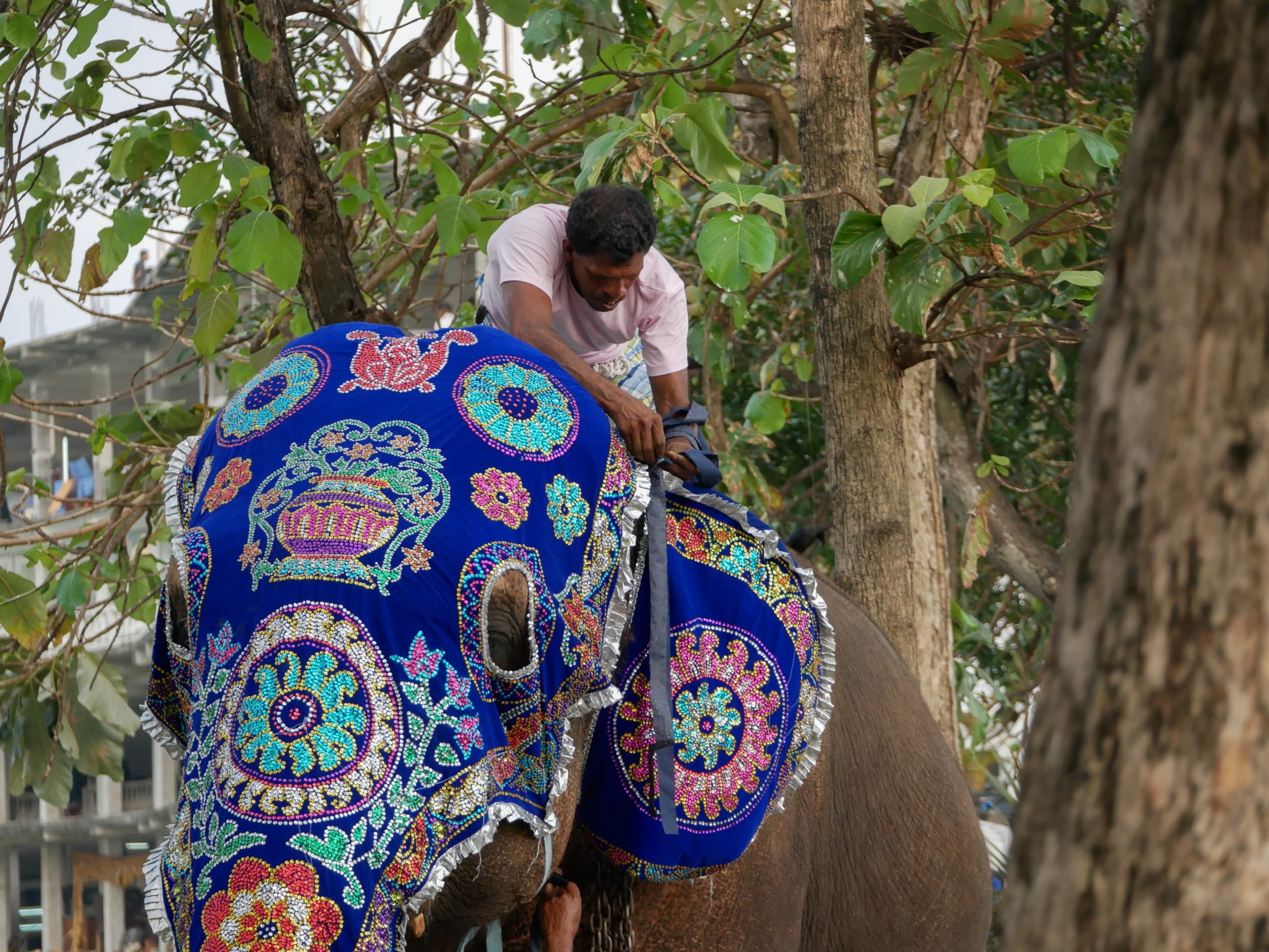 A mahout ties an ornate ear covering onto an elephant ahead of the annual two-day February full moon festival in Colombo, Sri Lanka, 2019.