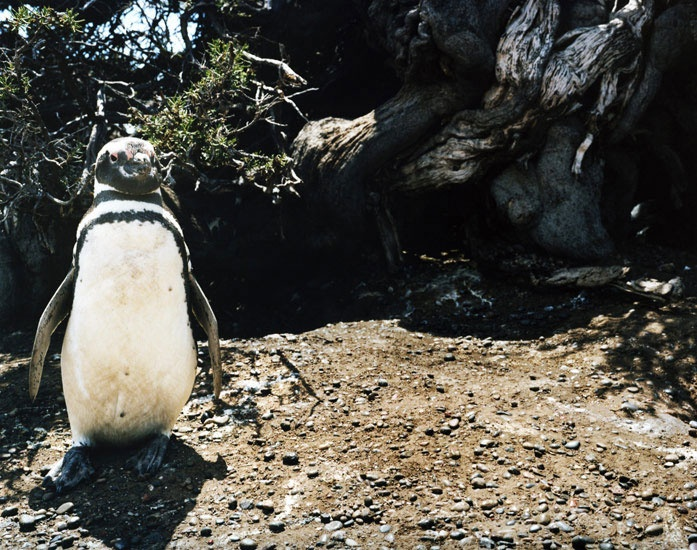 Art and Documentary Photography - Loading Travel_40_magellanic_penguin_punta_tombo_argentina.jpg