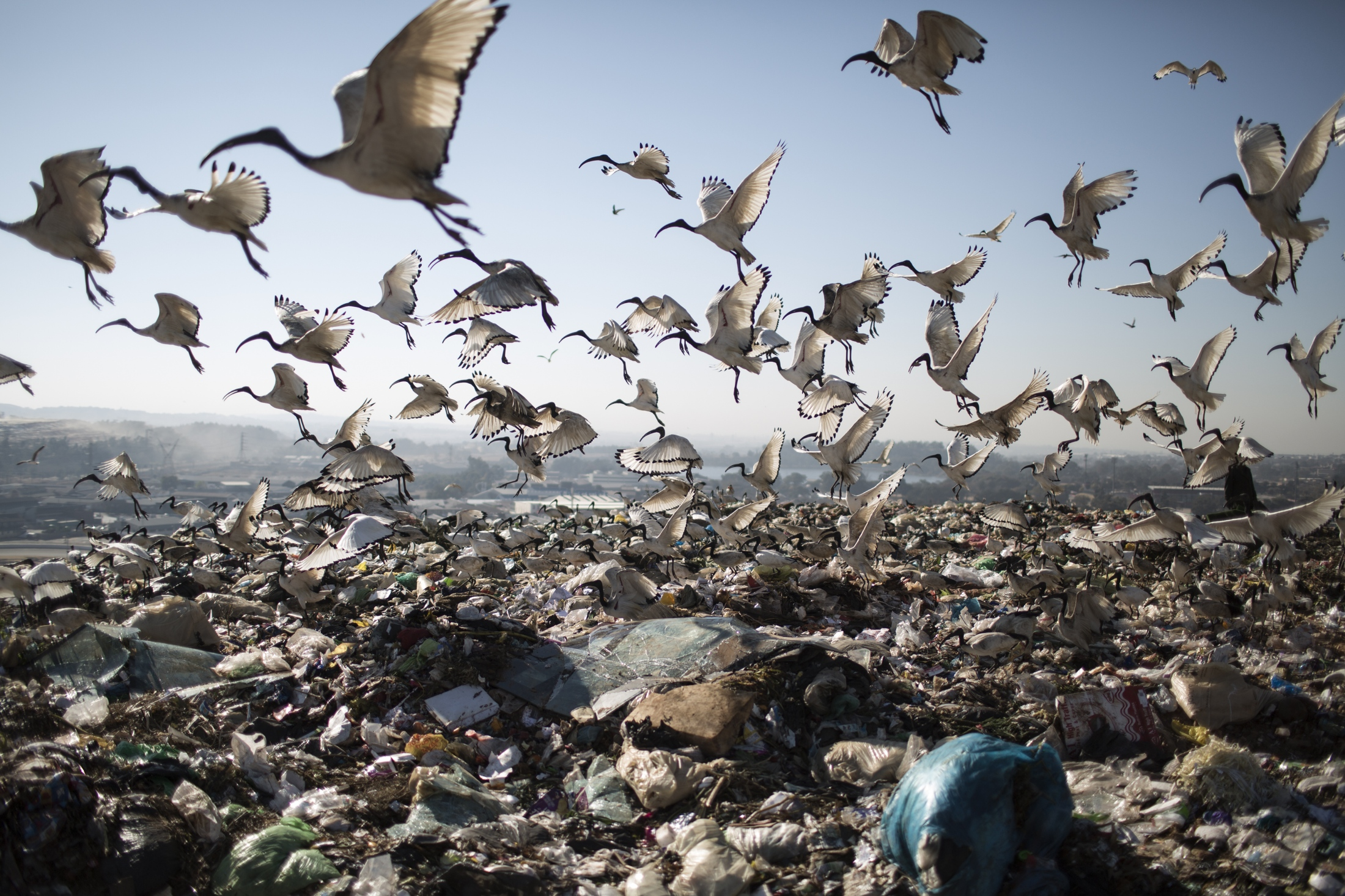 Birds scavenge from the waste at Robinson Deep landfill, Johannesburg's largest landfill.