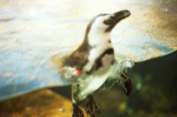 A penguin at the zoo, San Francisco, CA