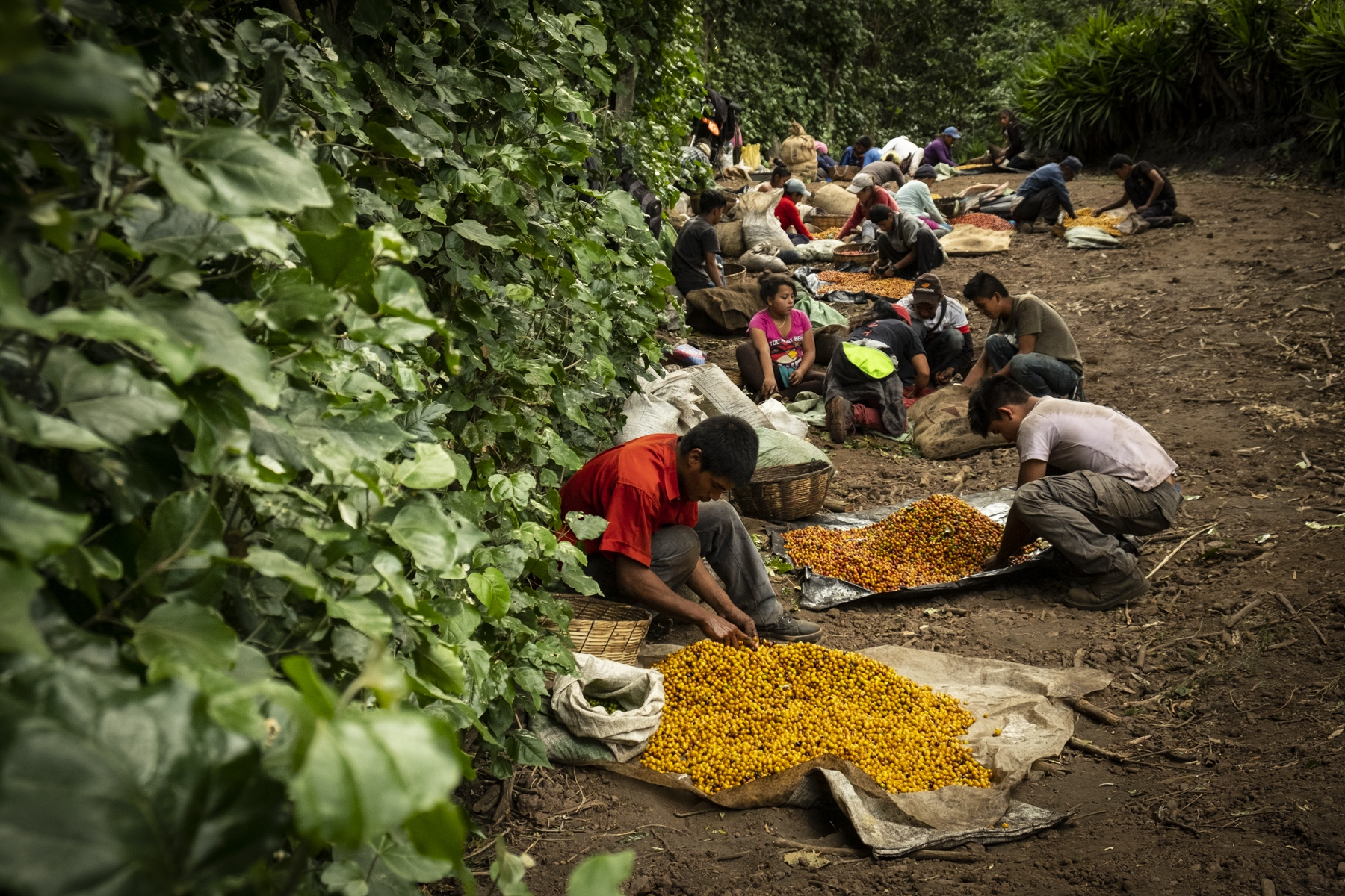 Farmers go through the coffee beans they picked earlier that day in Cerro Verde, El Salvador. With rising temperatures due to climate change, coffee producers have been unable to completely recover from the loss.