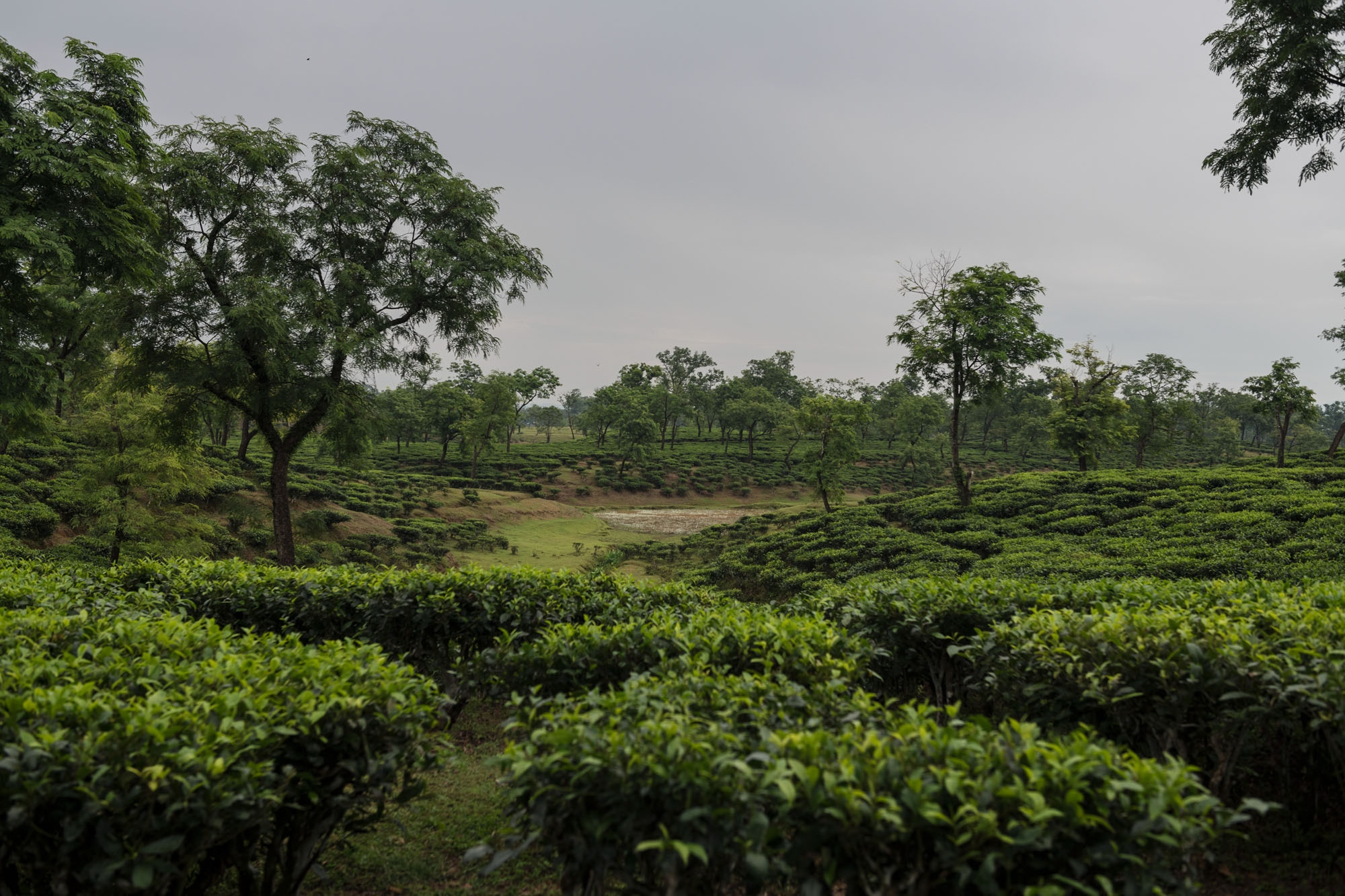 A tea plantation outside Silchar, Assam, India.