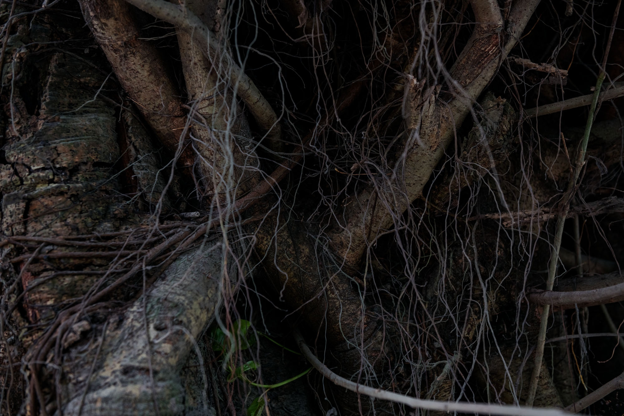 Tangled roots on a tree outside Silchar, Assam, India.