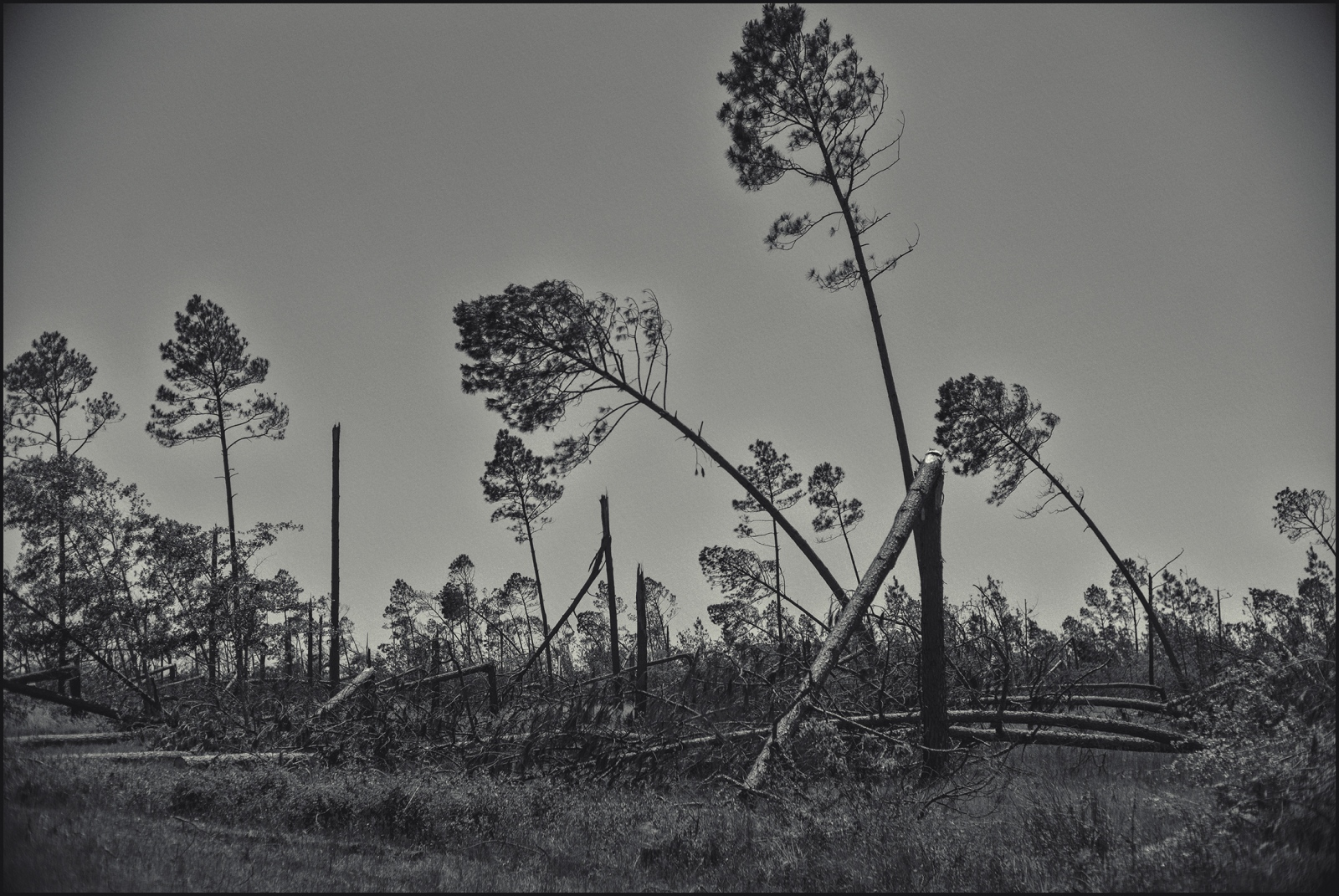 Trees bent from the Category 5 Hurricane Michael. County road just outside of Mexico Beach, FL, 2019.