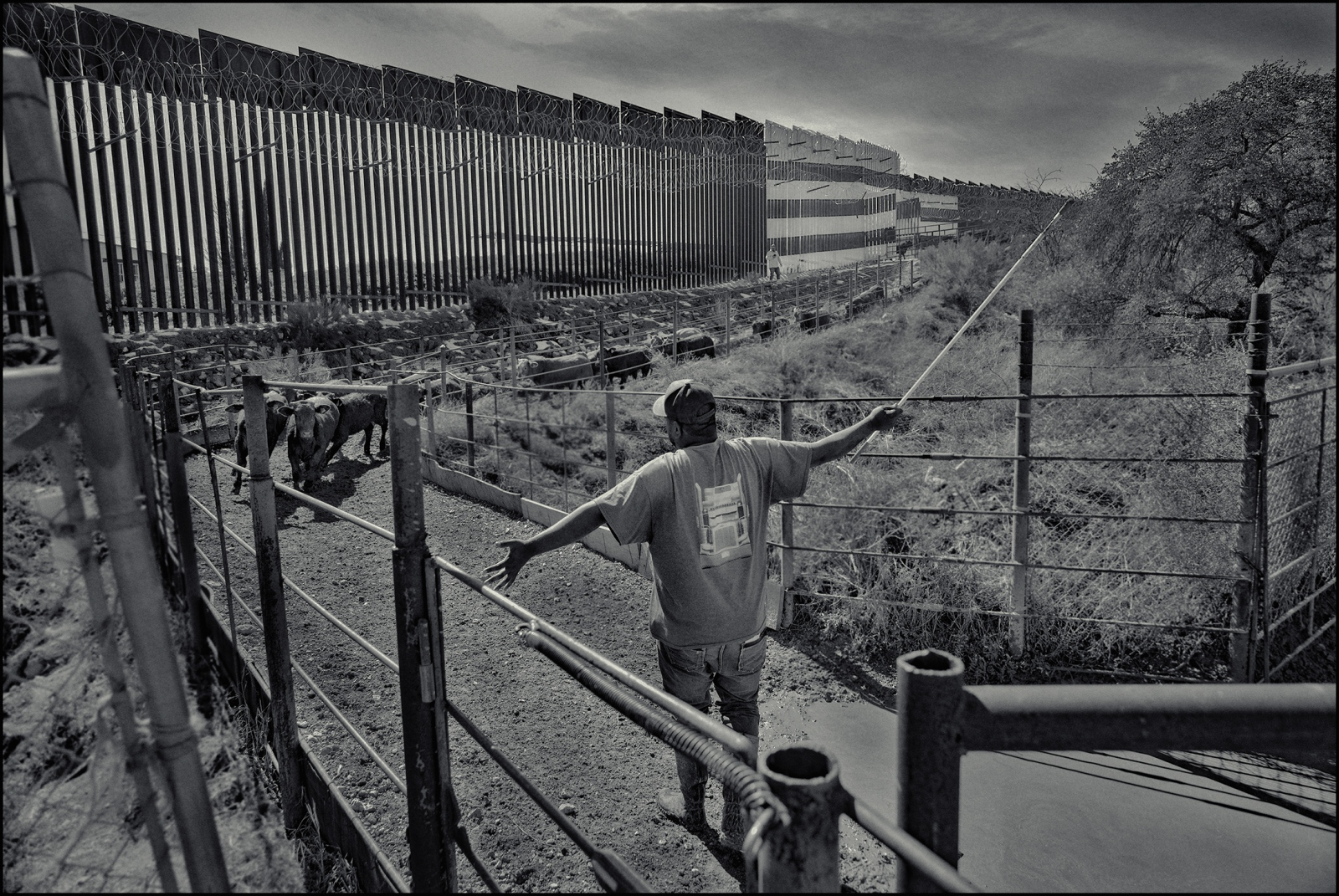 "Cattle from Mexico being sent over the ""Wall"". 1500-2000 head of cattle are brought into USA every working day. Nogales. AZ. 2019."