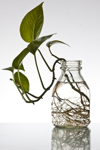 Still life. Glass with ivy.